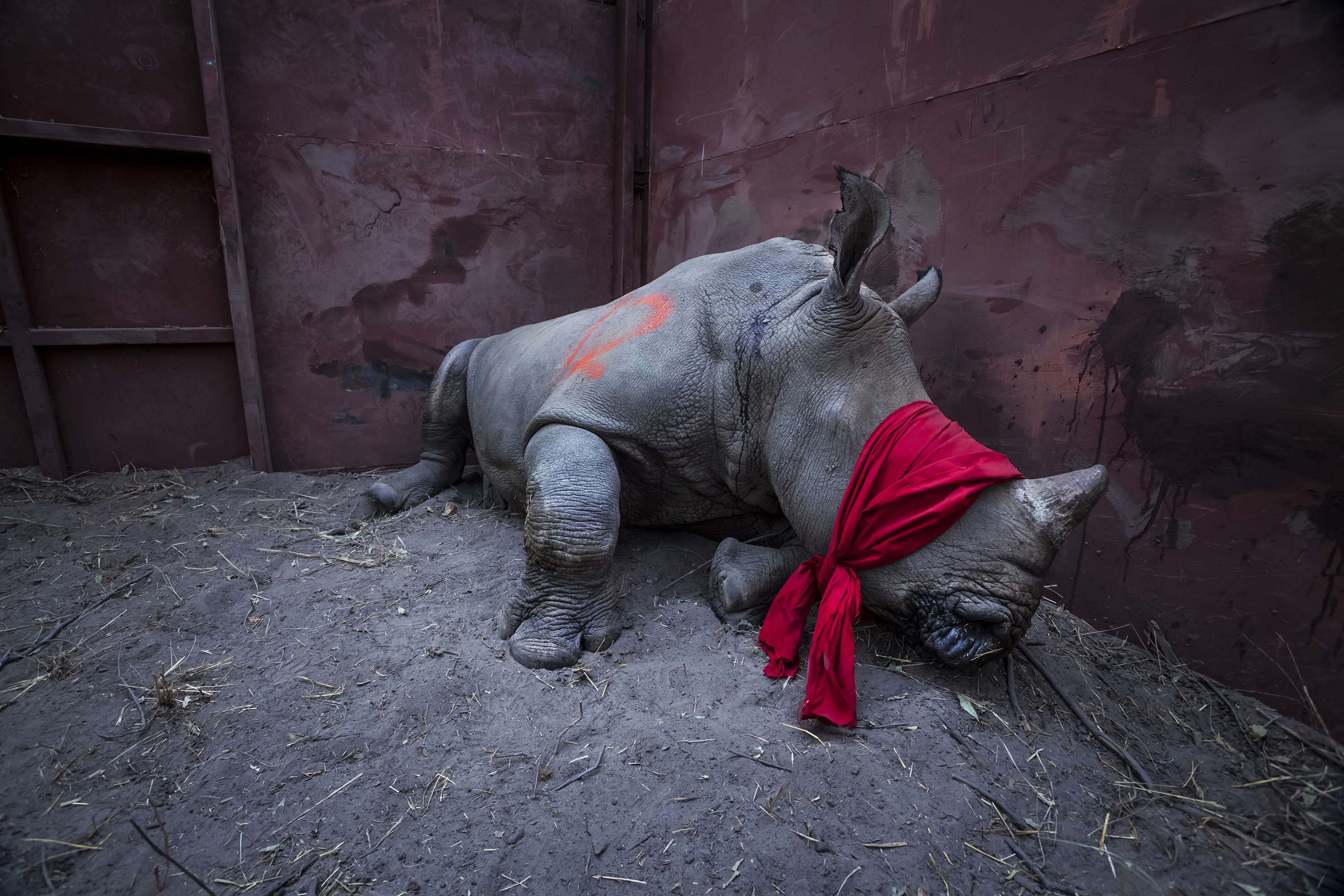 A young southern white rhinoceros, drugged and blindfolded, is about to be released into the wild in Okavango Delta, Botswana, after its relocation from South Africa for protection from poachers.