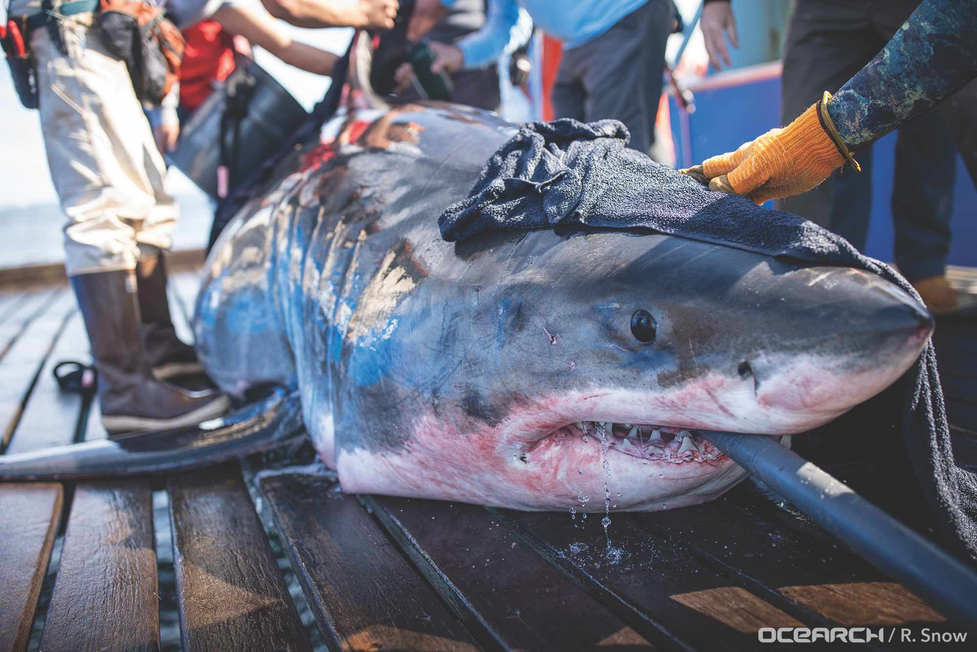 Great white shark on boat deck