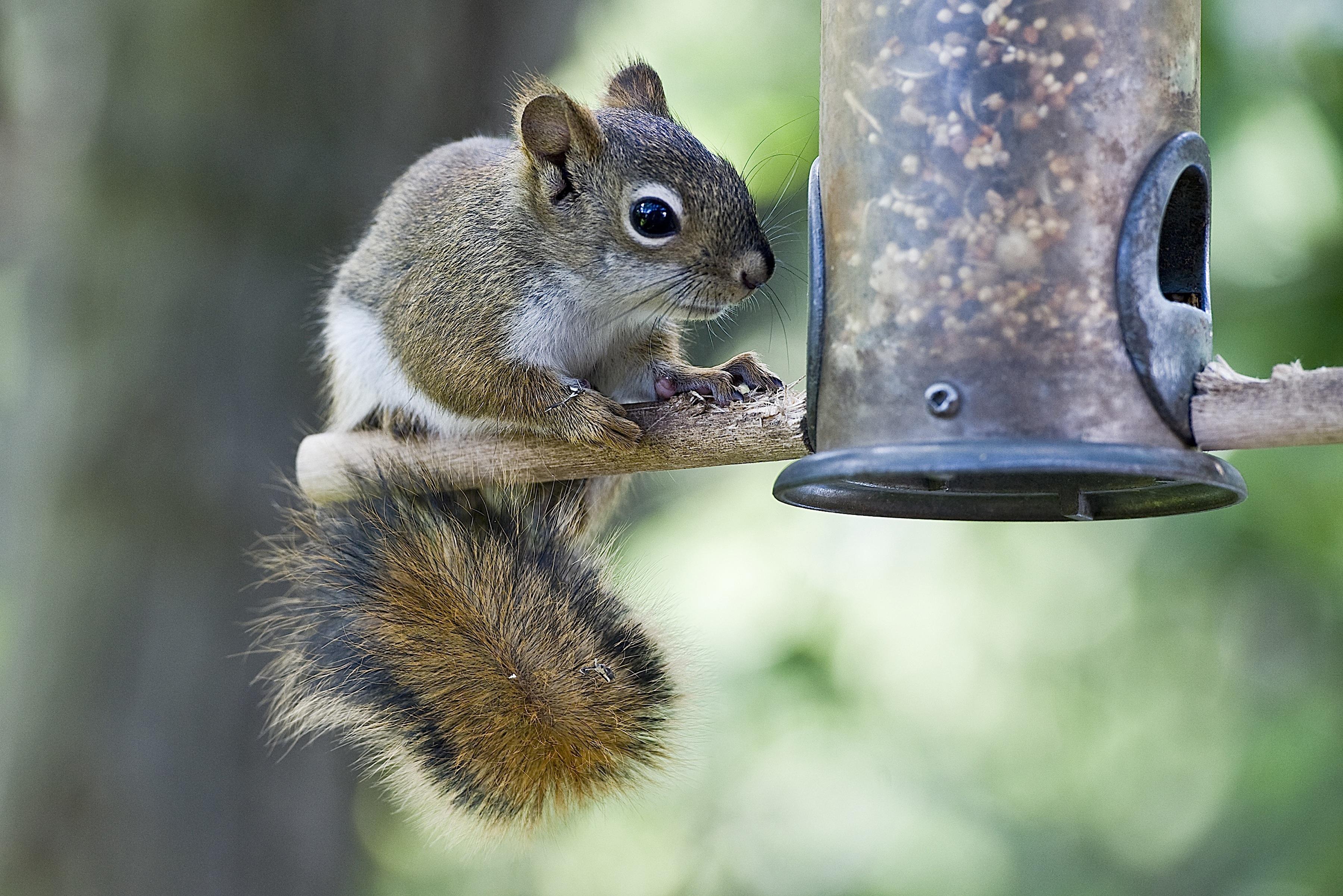 Squirrel at a bird feeder