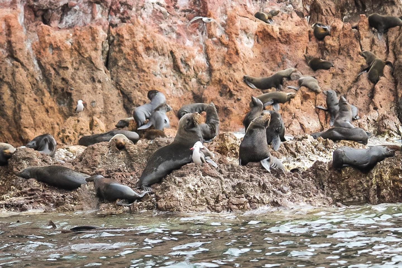 Guadalupe fur seals hauled out on the northeast side of El Farallón de San Ignacio Island, along the coast of Mexico