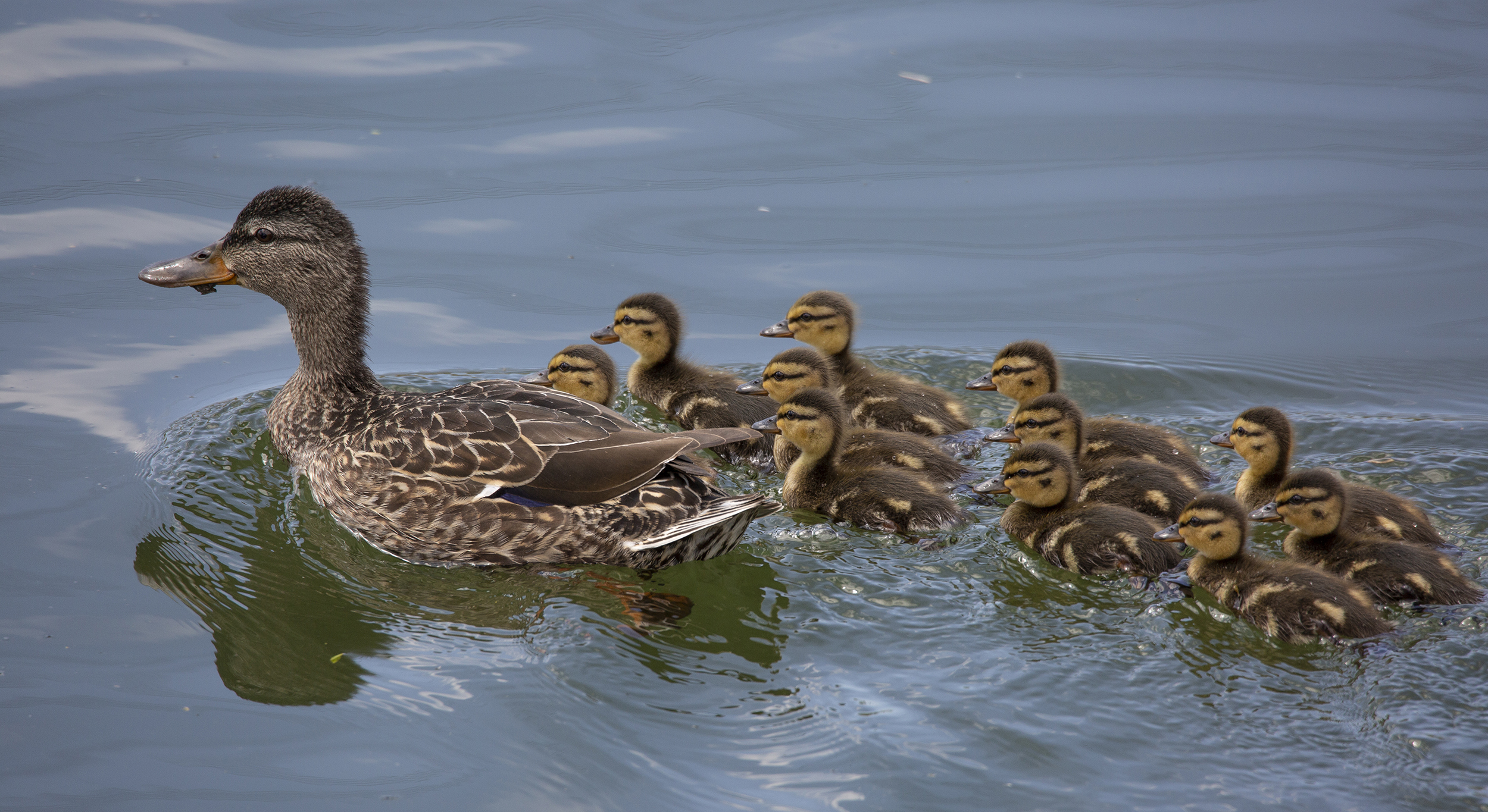 A female mallard surrounded by ducklings