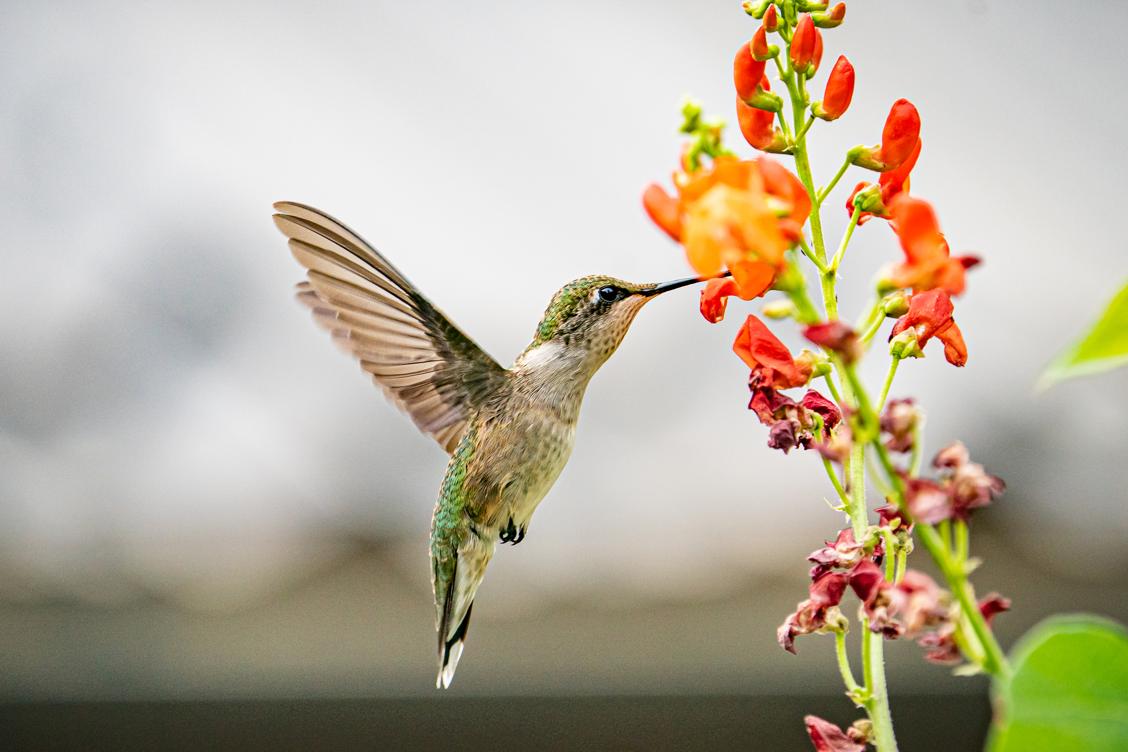 Female ruby-throated hummingbird hovering by an orange flower
