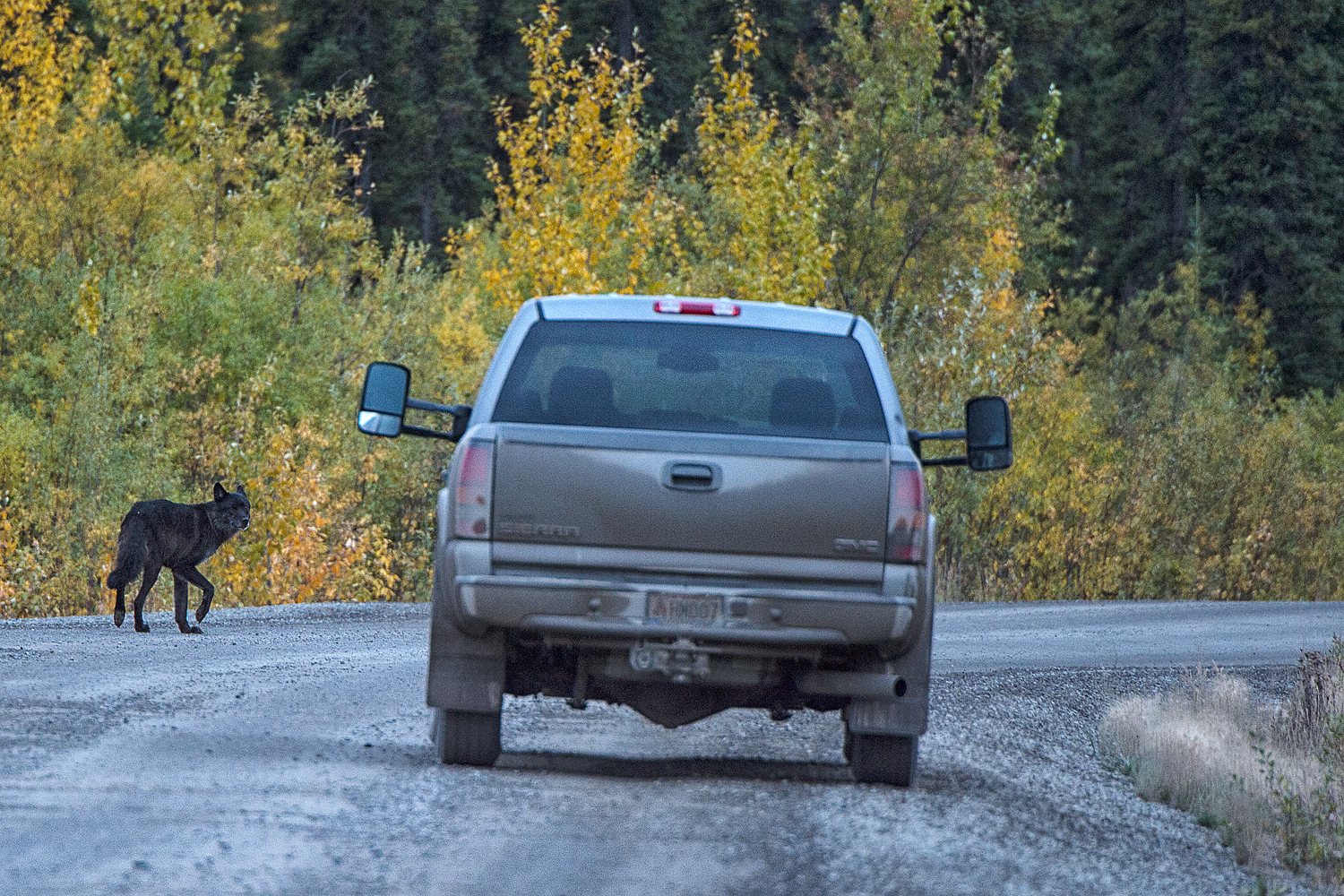 A black wolf warily scopes out a vehicle on a dirt road in the Yukon