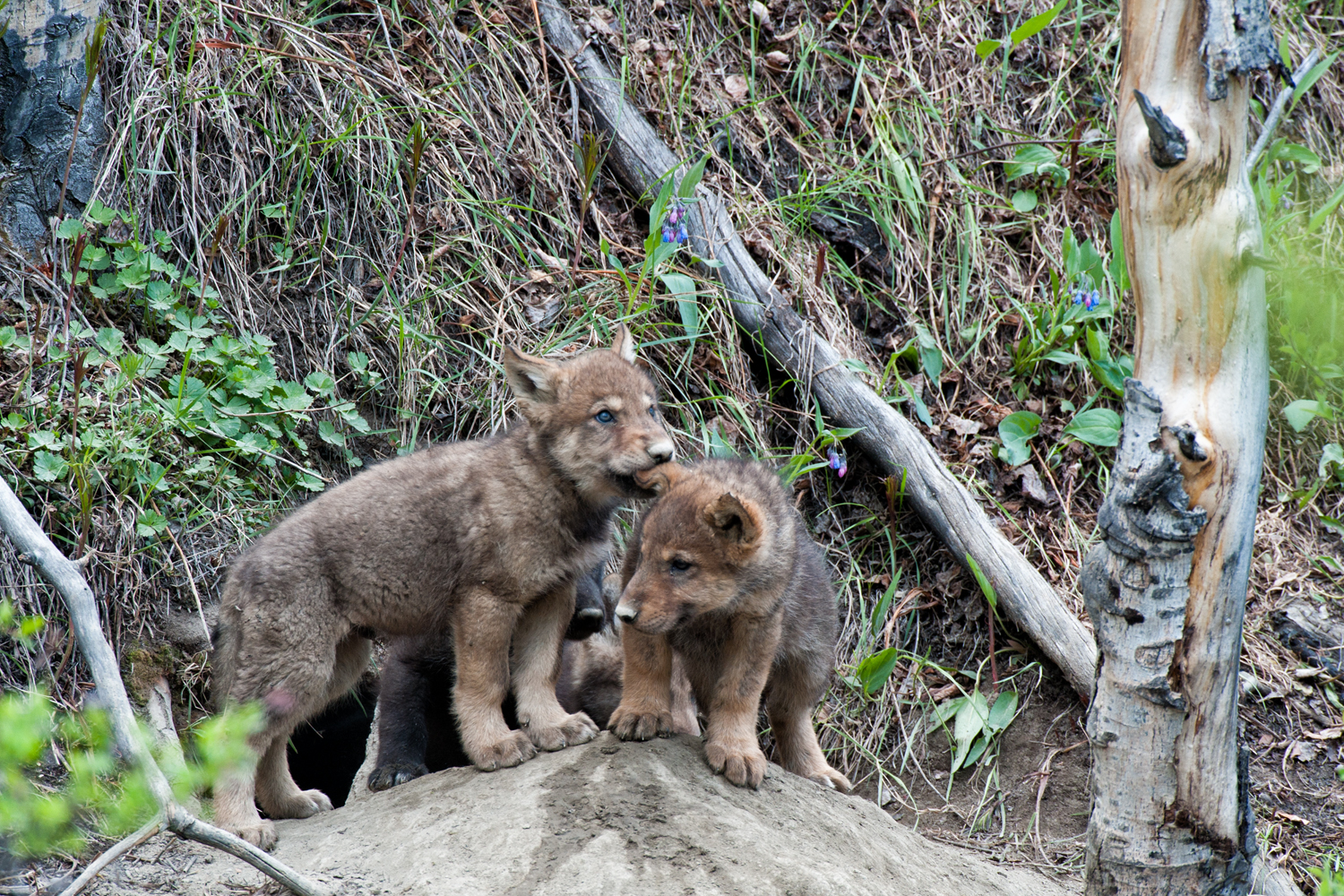 Wolf pups play outside their den in Yukon Territory