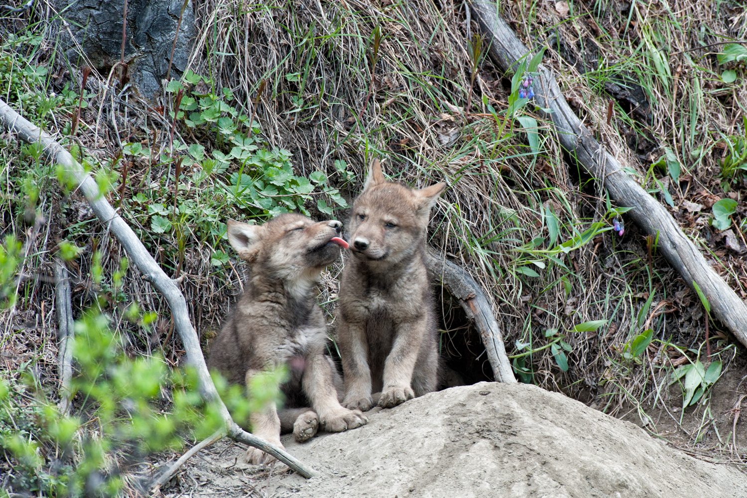 Wolf pups play outside their den in the Yukon Territory