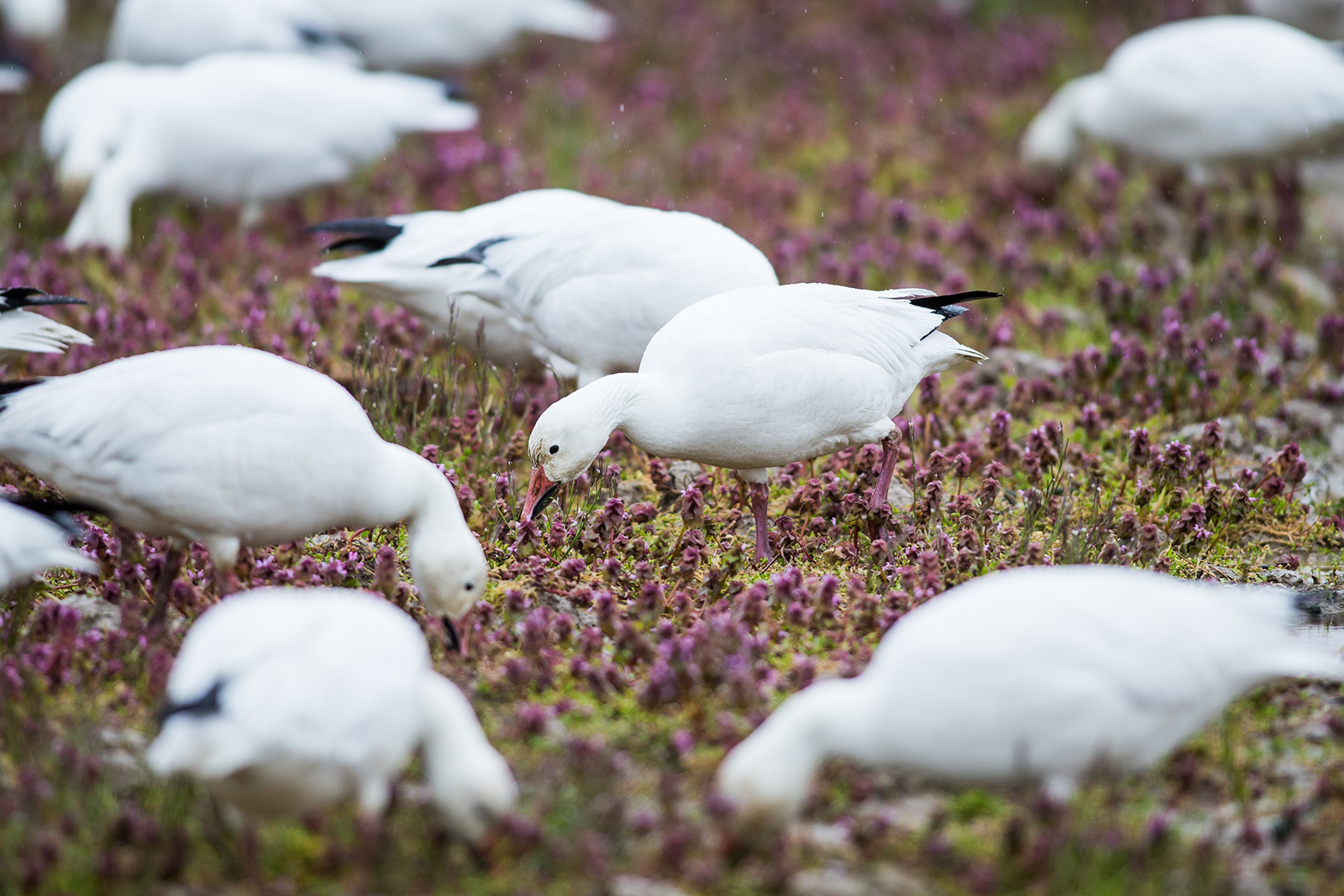 Snow geese feed in a farmers field near the Alaksen National Wildlife Area on Westham Island, British Columbia