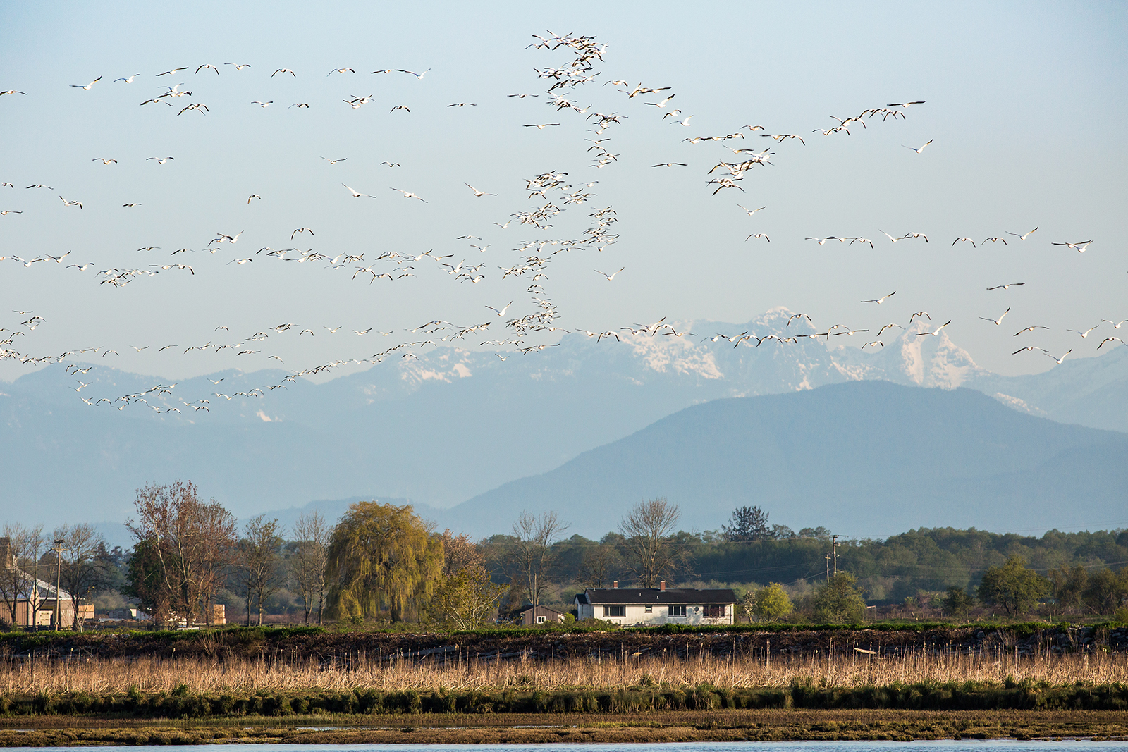 Snow Geese migrate North across the Fraser River of Brunswick Point on April 26, 2018 in Tsawwassen, B.C.