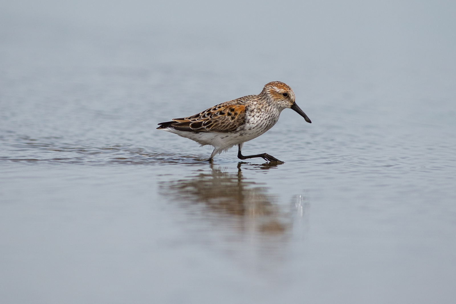 Western Sandpipers near Brunswick Point in Ladner