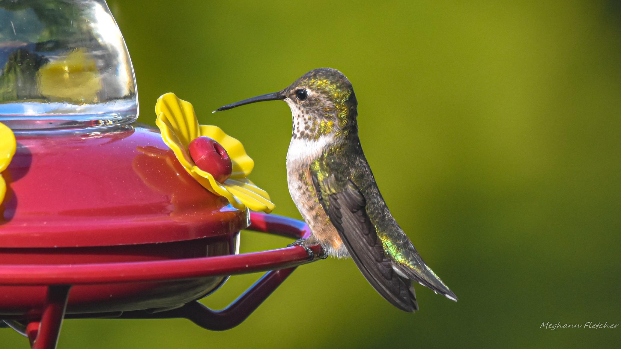 Calliope hummingbird at feeder