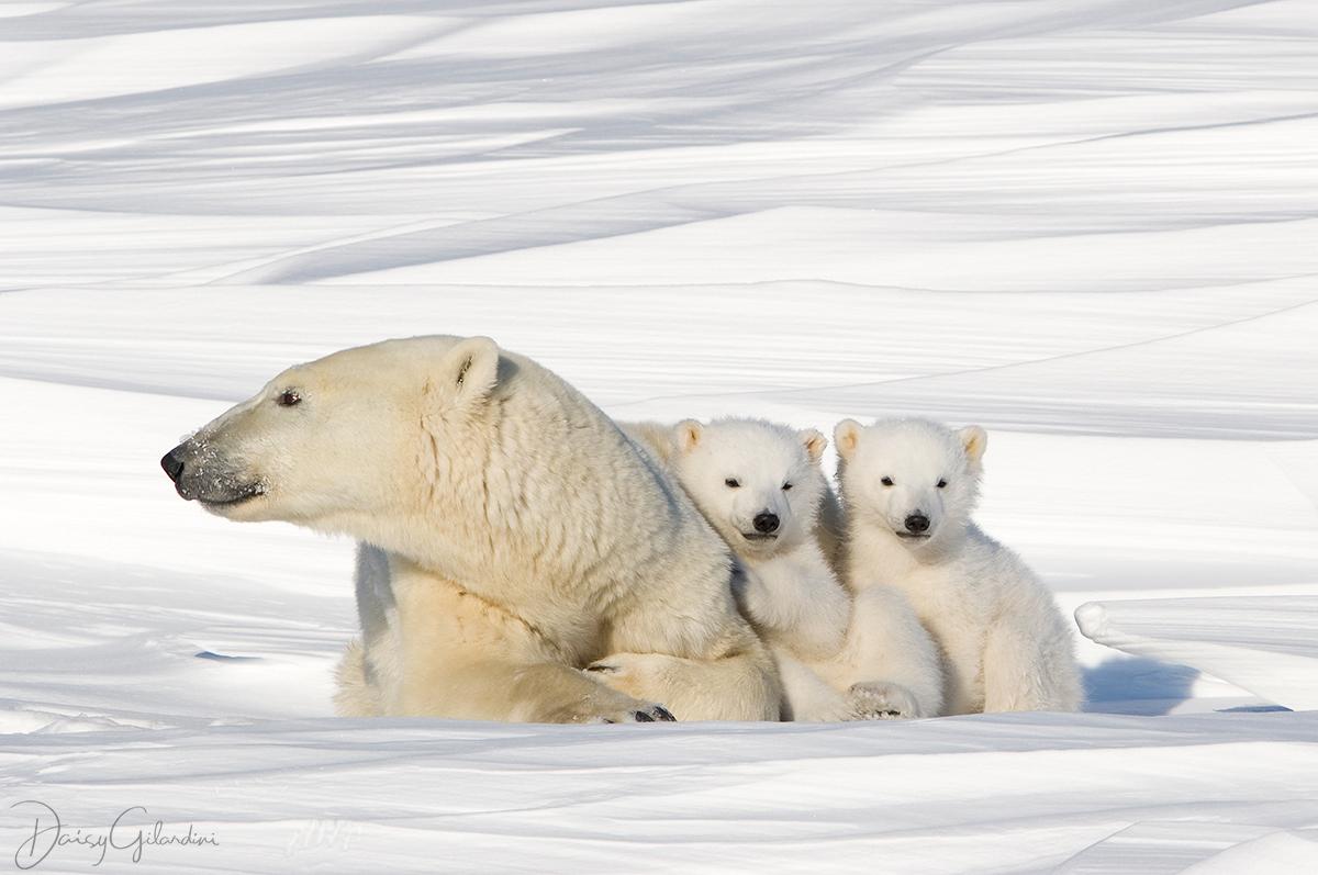 bears in snow