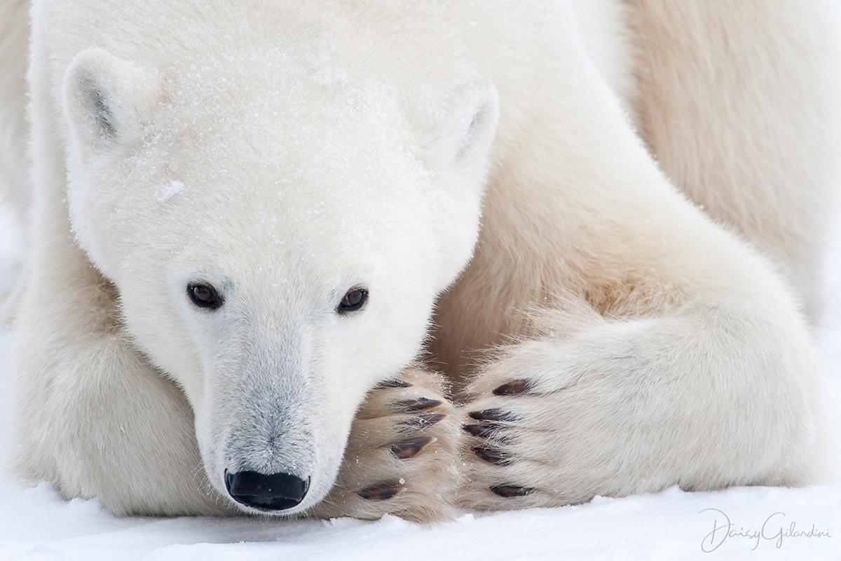 hunkering down polar bear
