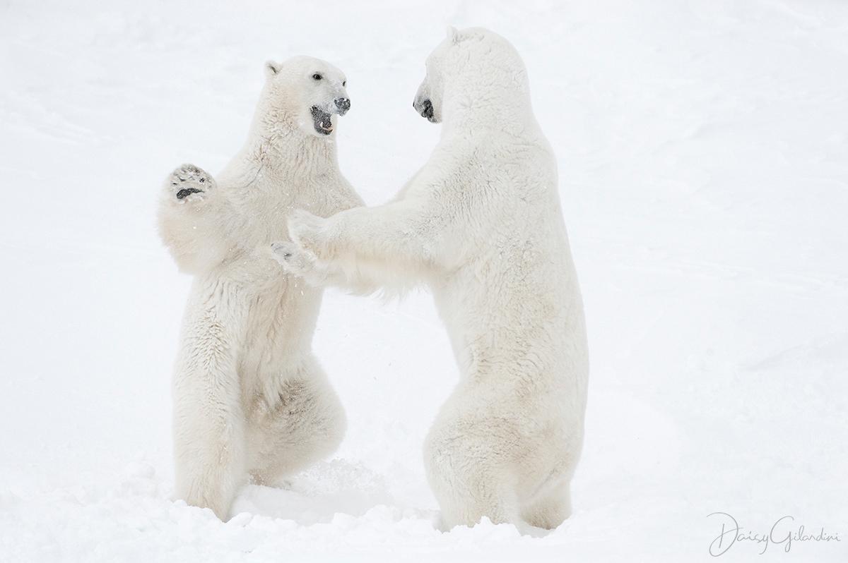 polar bears spar