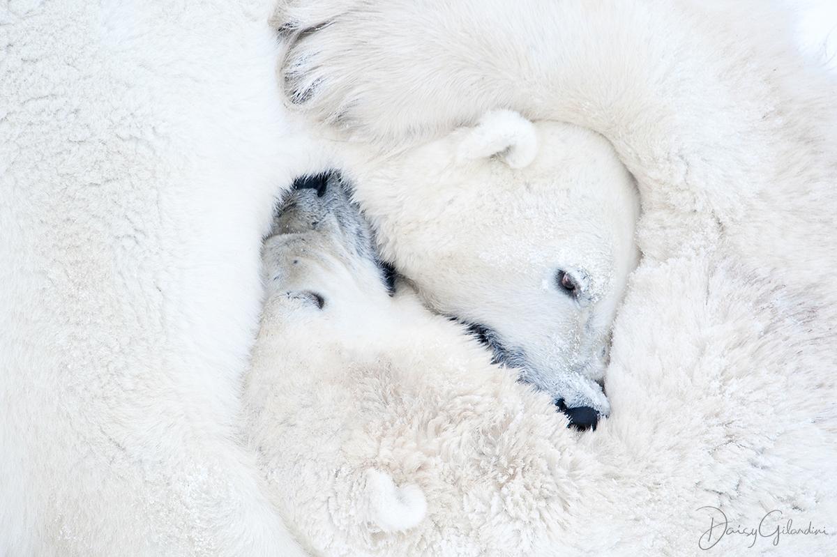 polar bears fight