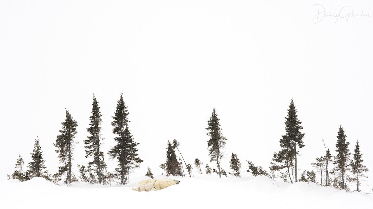 polar bears walk