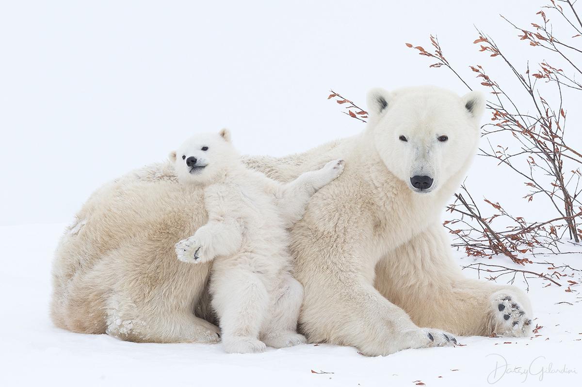 polar bear cub stretch