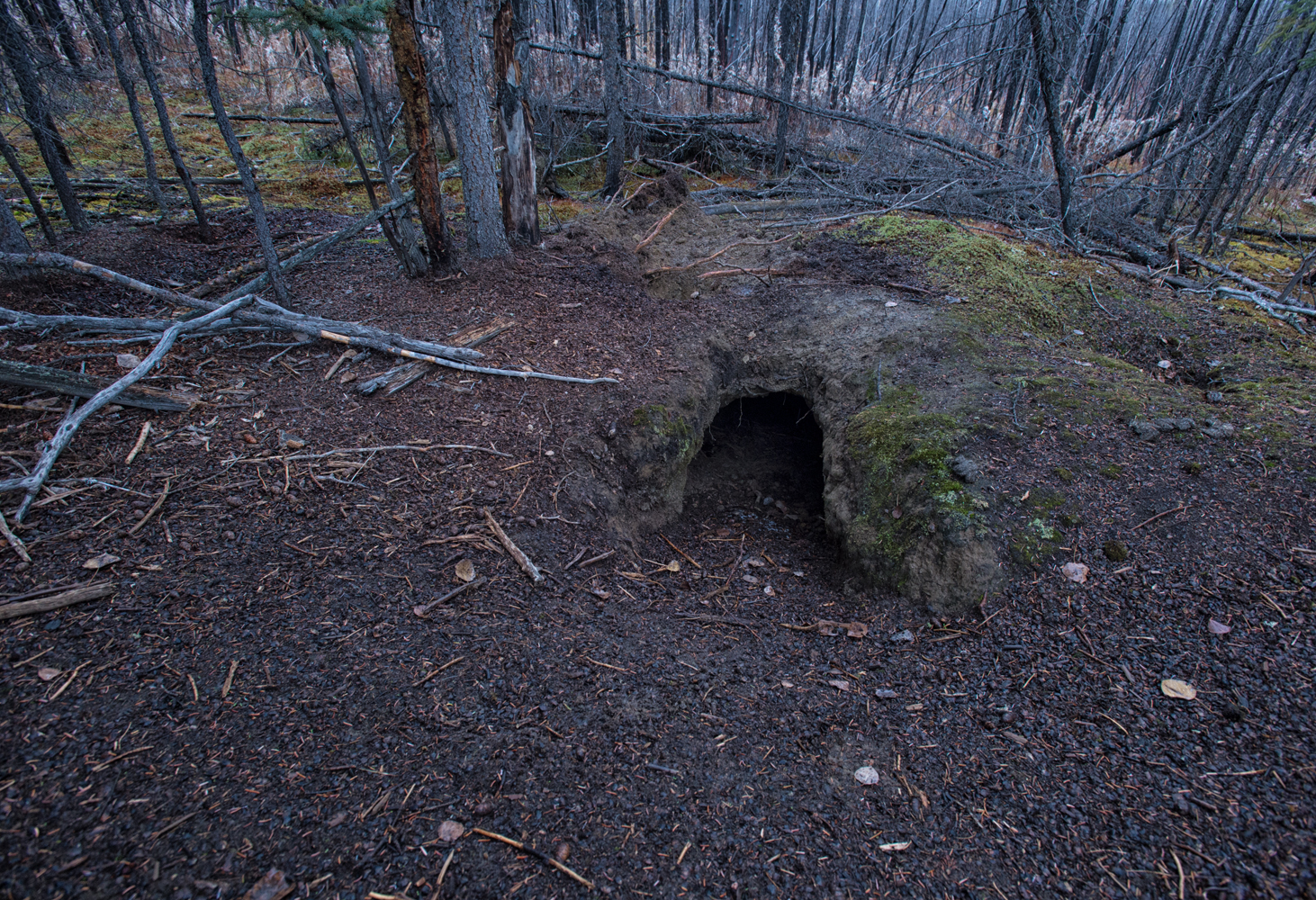 A wolf den near the Dempster Highway