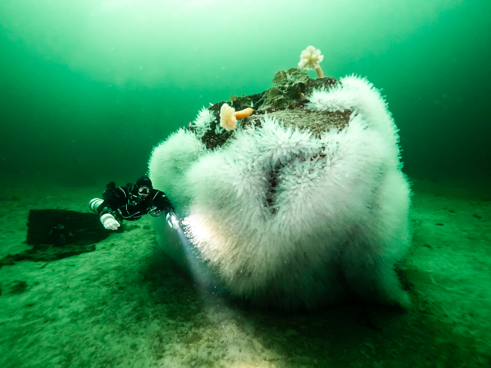 The Pacific Transparent Sea Squirt (Ciona savignyi) is thought to be an invasive species on the Northwest Pacific coast. A colony has covered a large boulder between shore and islet at Tuwanek. Sechelt Inlets Marine Provincial Park.