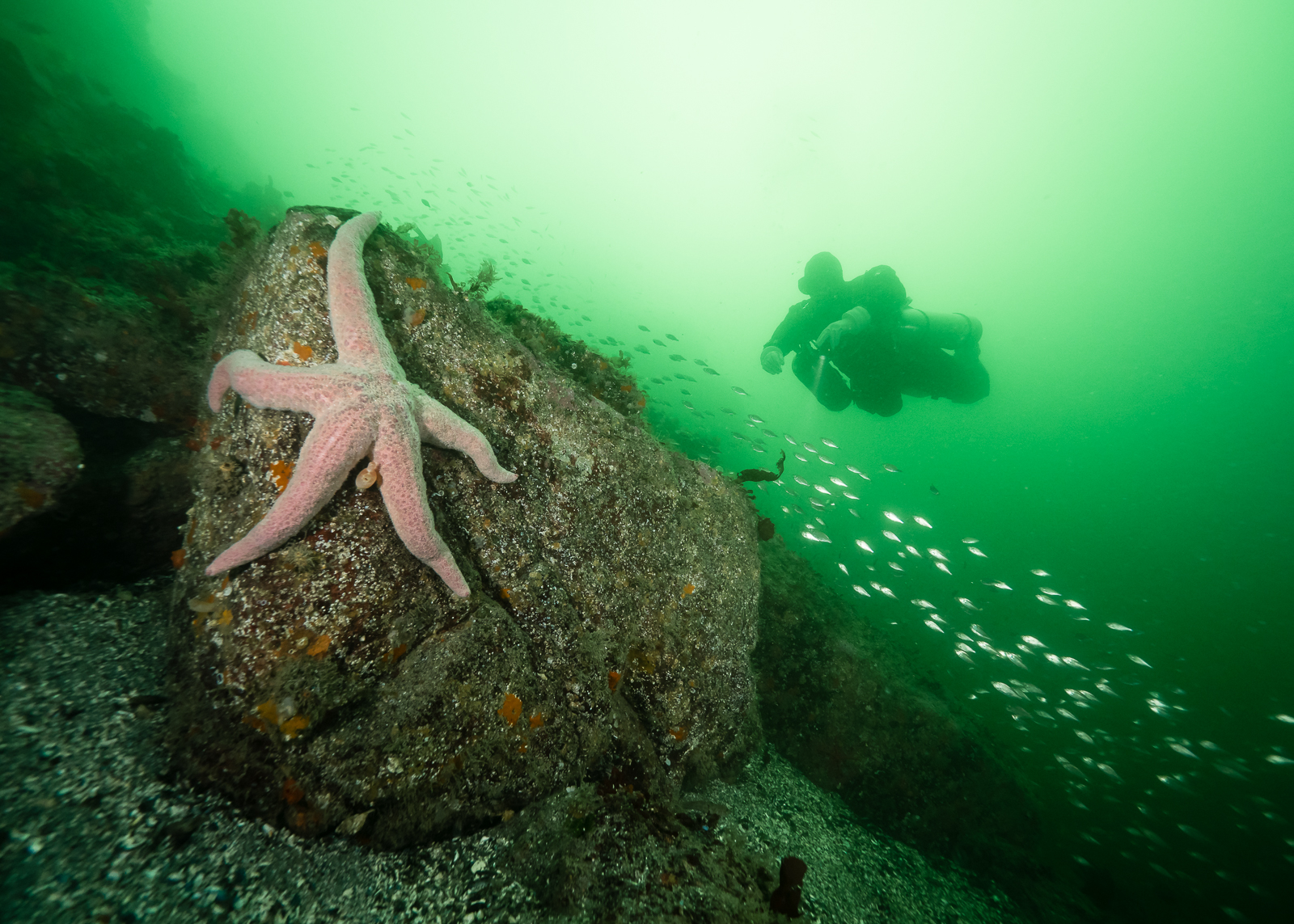 A spiny pink star (Pisaster brevispinus) is perched on a boulder while a school of juvenile fish is lit up by a diver. Sea stars have been making a comeback after several years of a wasting disease decimating populations. Fortunately, spiny pink stars were less affected.