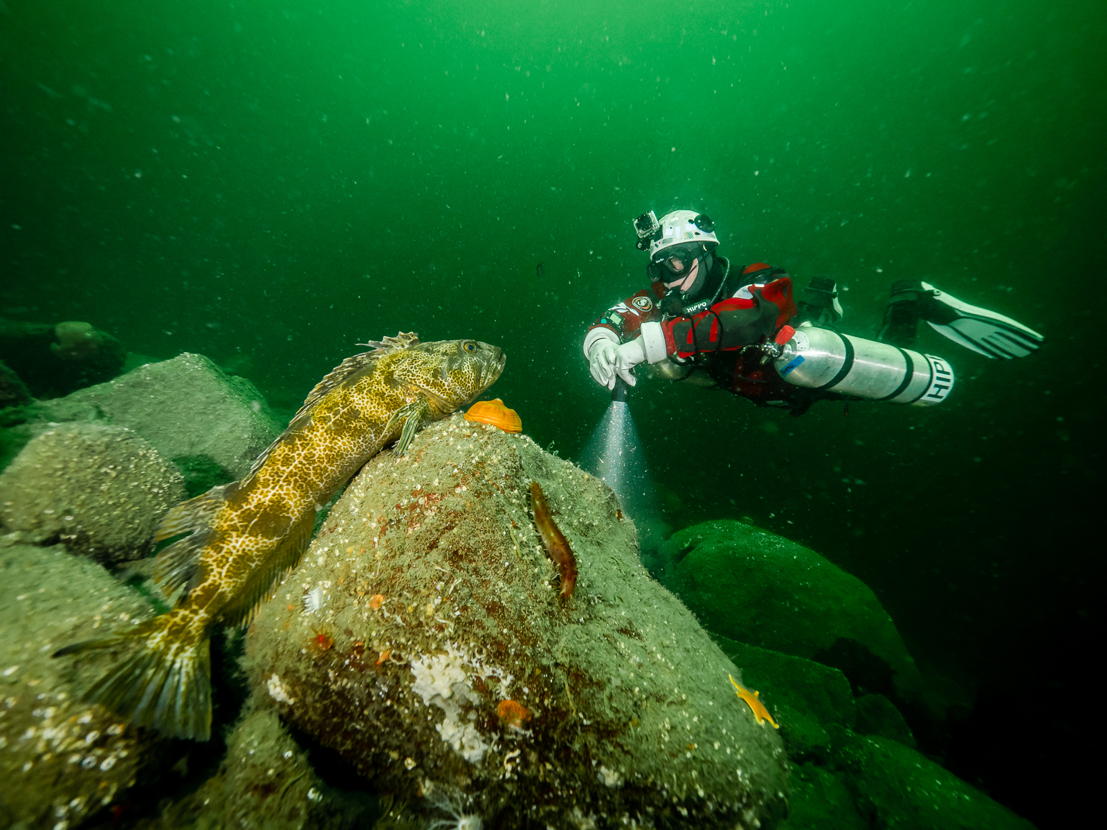 Lingcod (Ophiodon elongatuscan) can grow as large as 1.5 meters. At a depth of twenty meters, a diver goes meets a large lingcod face to face. Sechelt Inlets Marine Provincial Park.