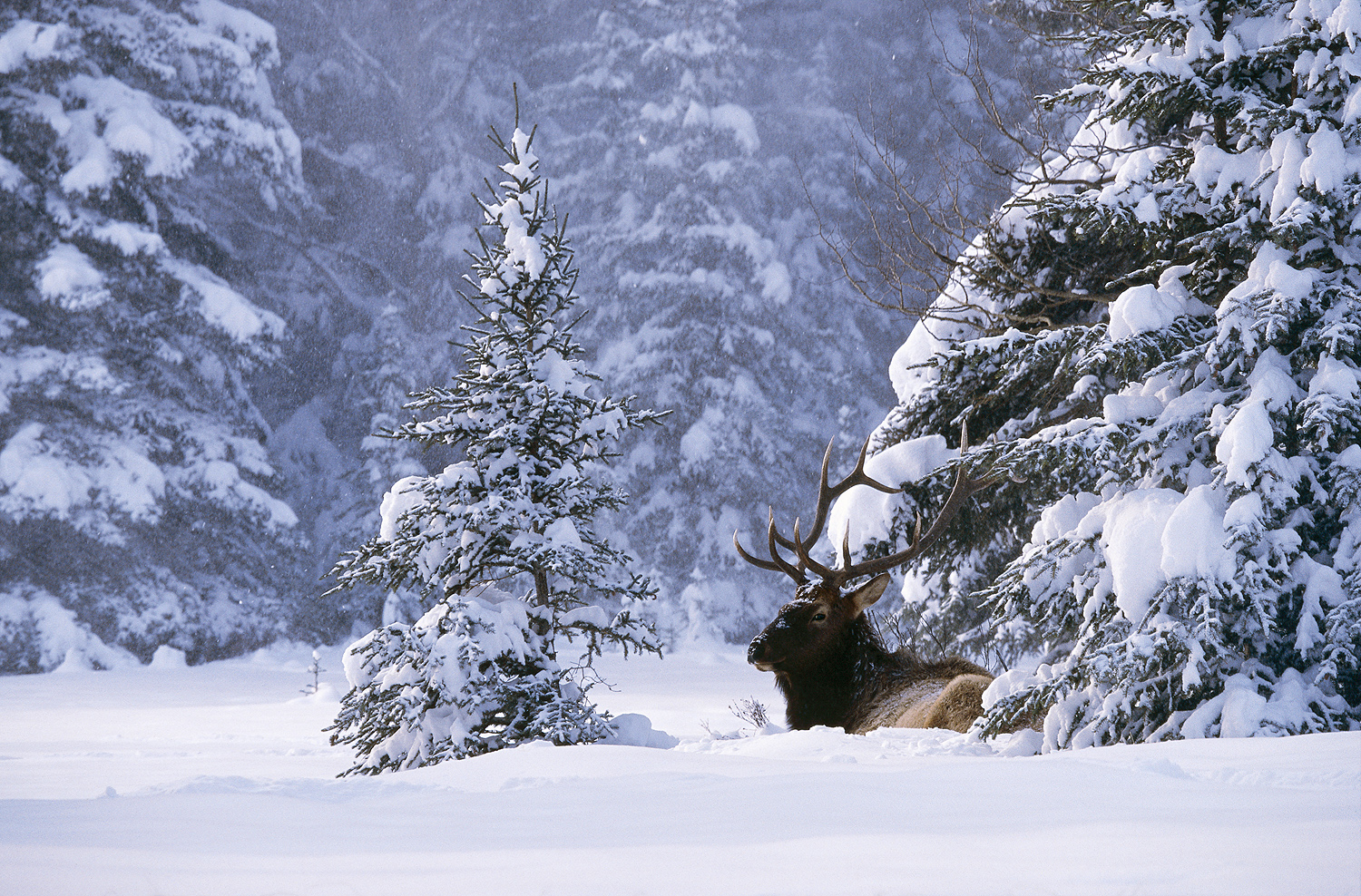 Bull elk resting in snow in Banff National Park by John E. Marriott