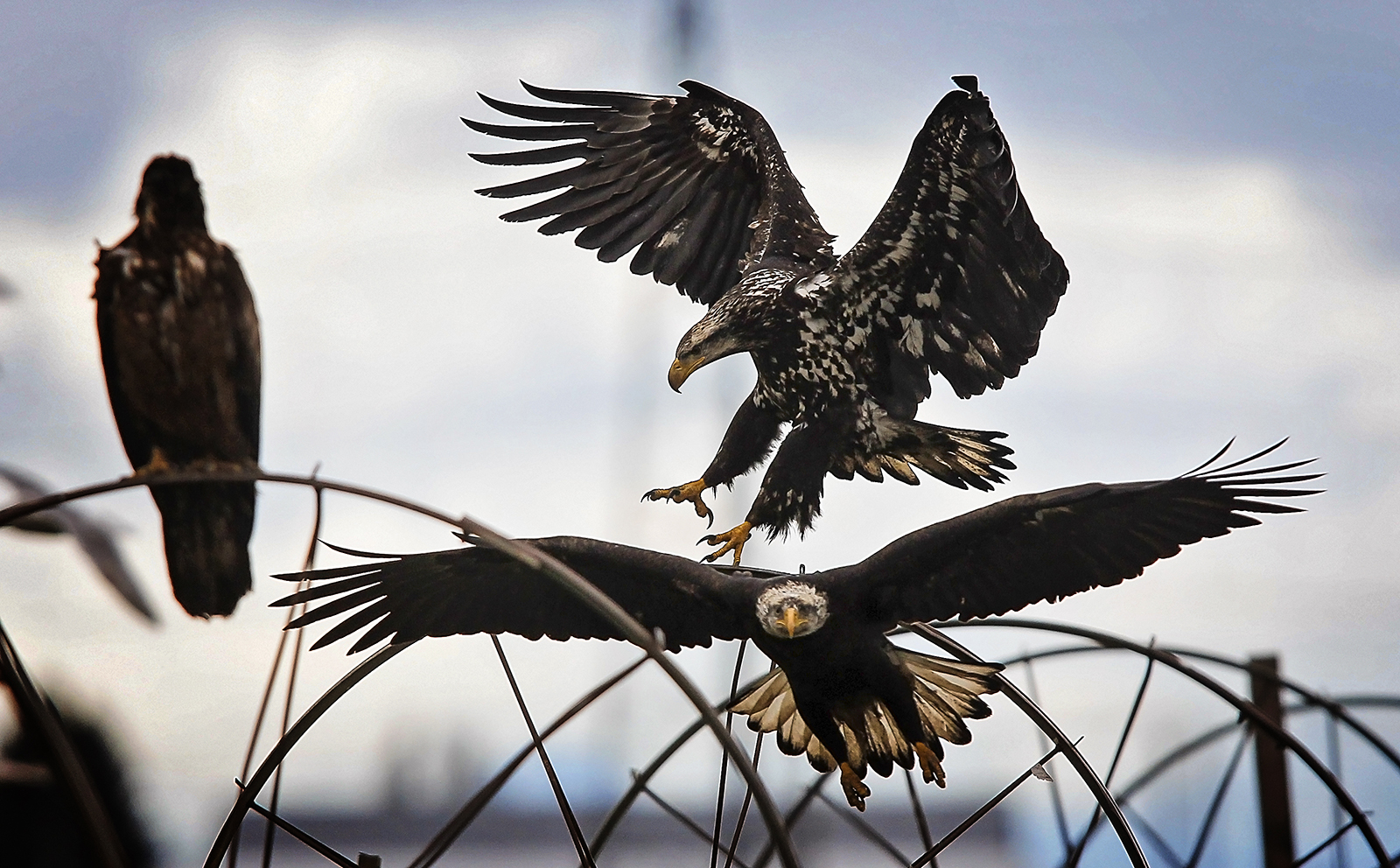 Golden eagles and bald eagles fight over food in Delta, British Columbia