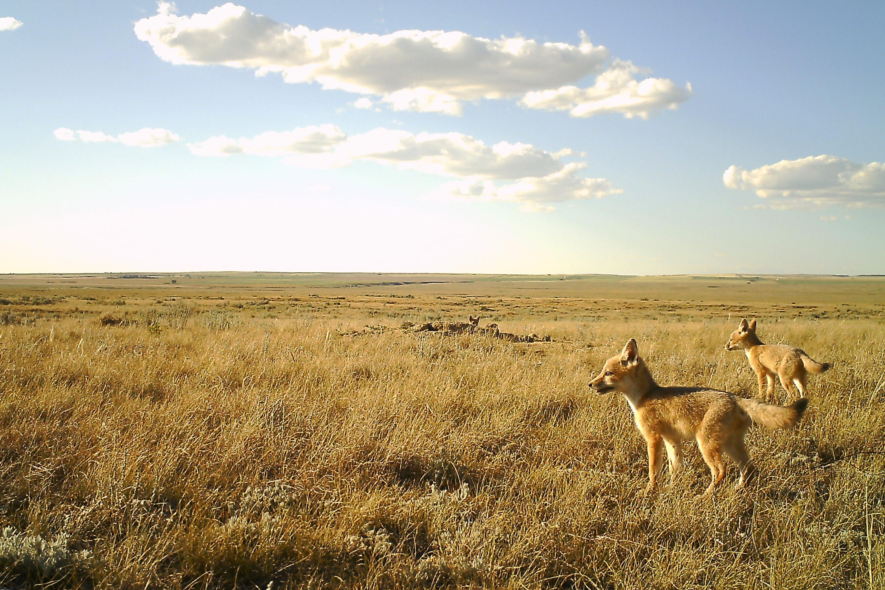 Swift fox den Alberta