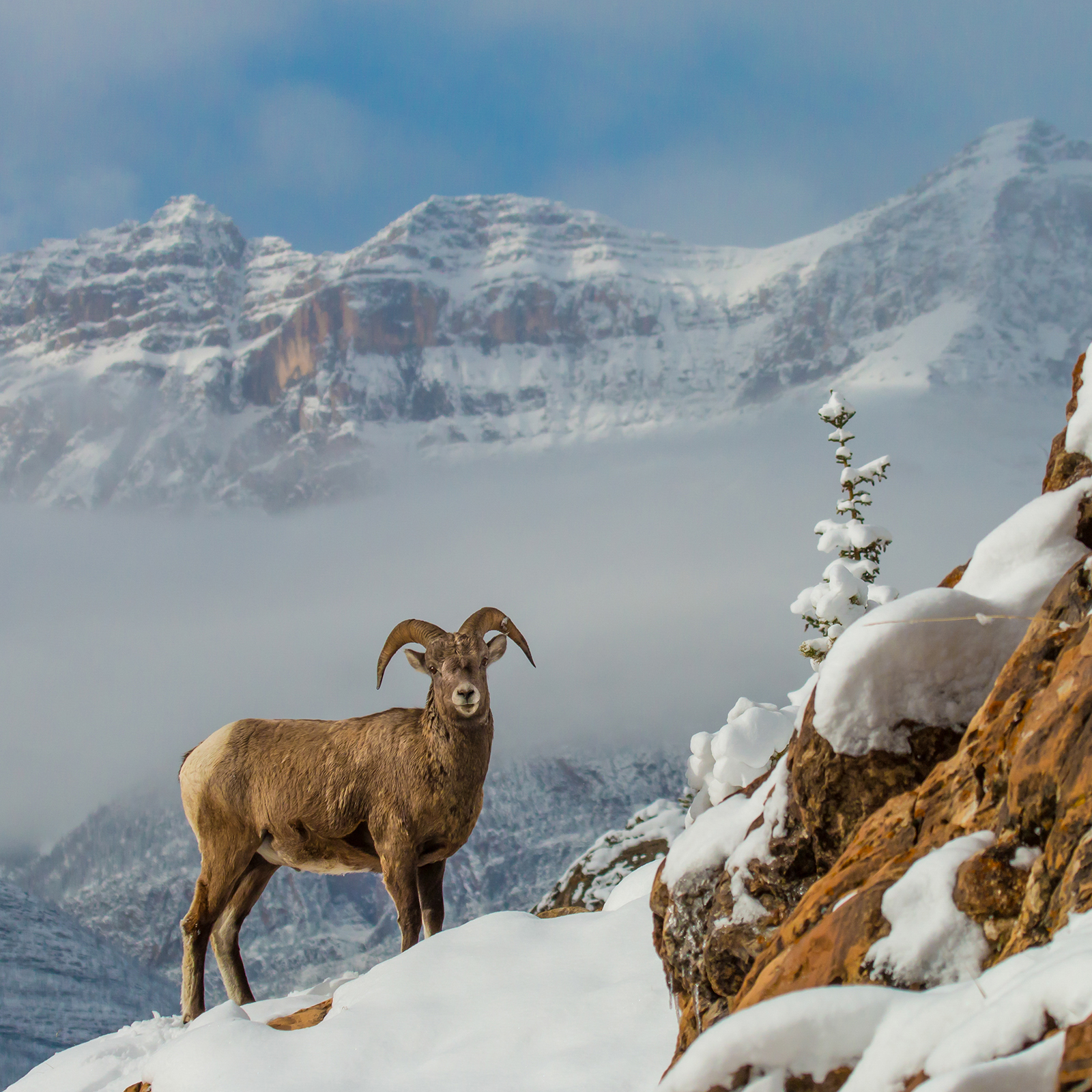 Bighorn sheep on a mountainside west of the Kootenay Plains Natural Area in western Alberta