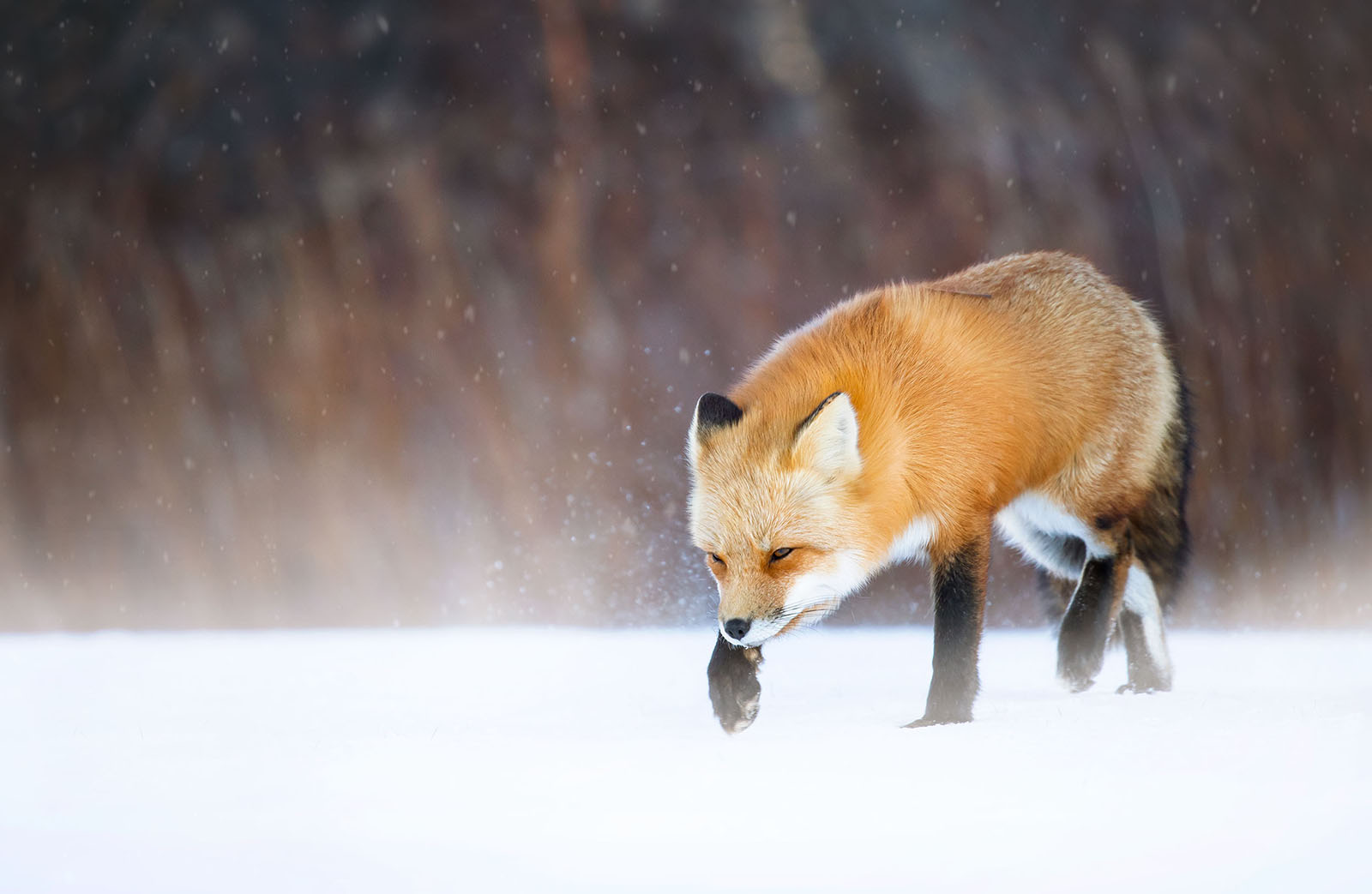 Red fox hunting in snow and strong headwinds