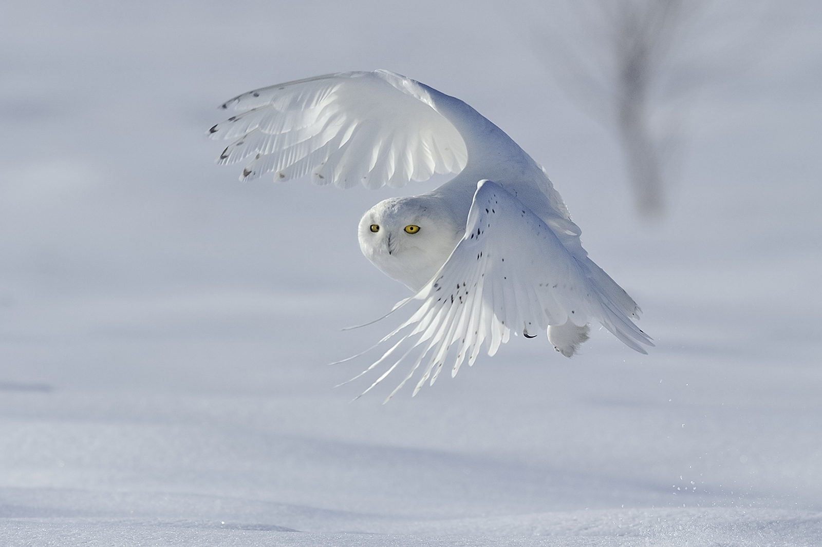 snowy owl in flight, terrebonne Que.