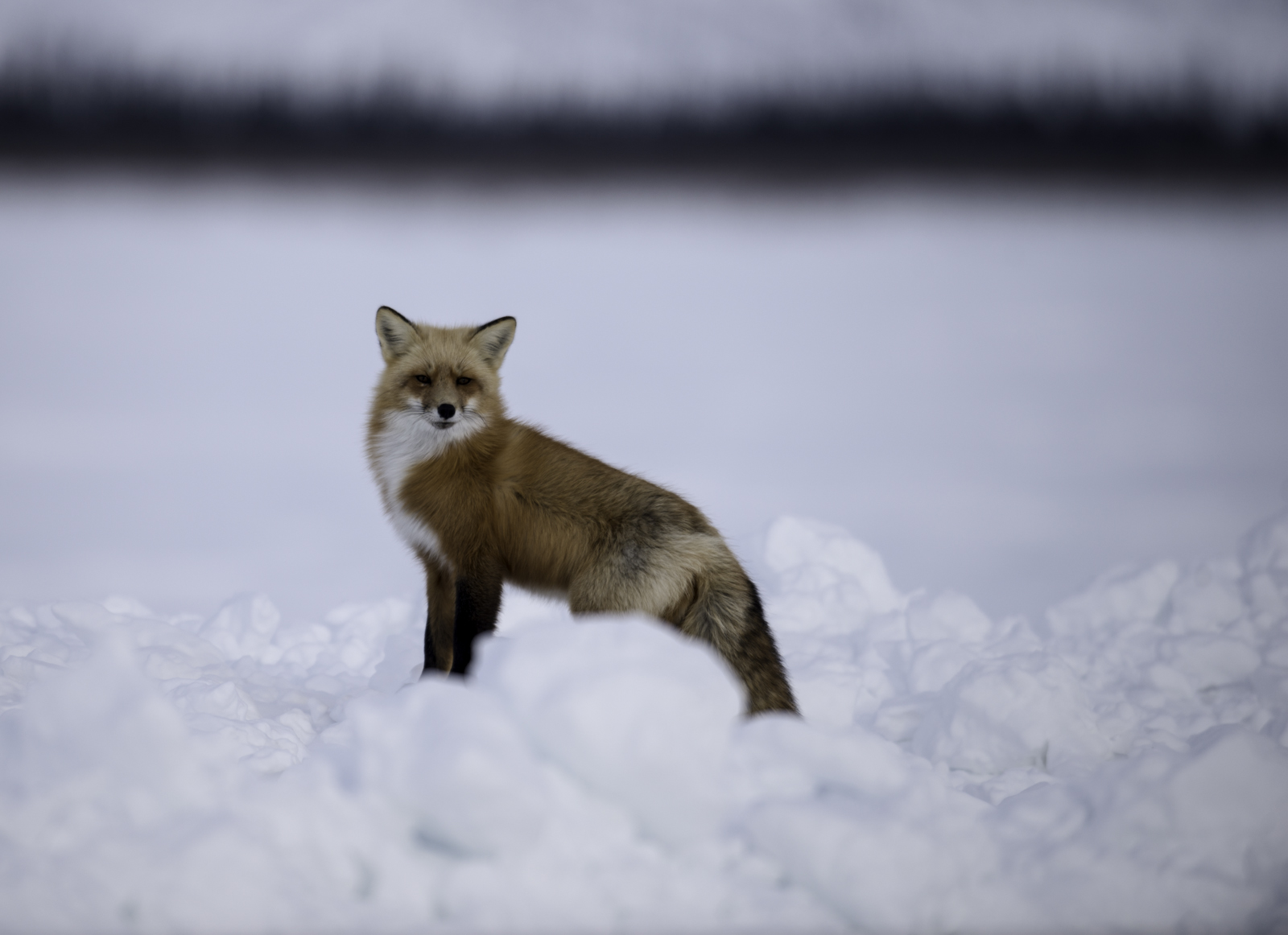 A red fox watches travellers from the side of the ice road