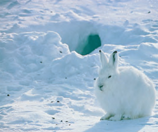 Animal Facts: Arctic Hare