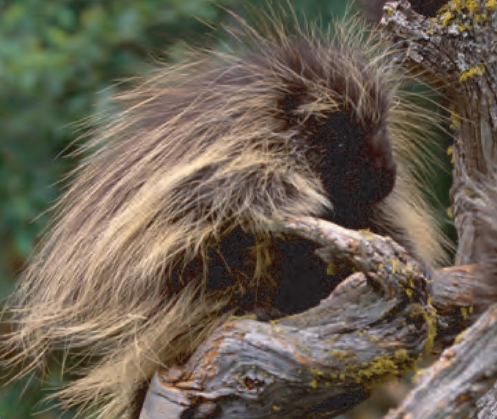 Animal Facts Porcupine Canadian Geographic