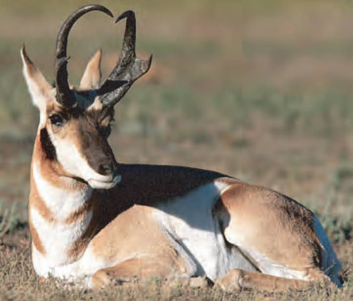 Animal Facts Pronghorn Canadian Geographic