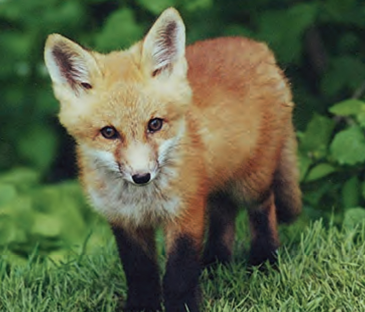 Animal Facts Red Fox Canadian Geographic