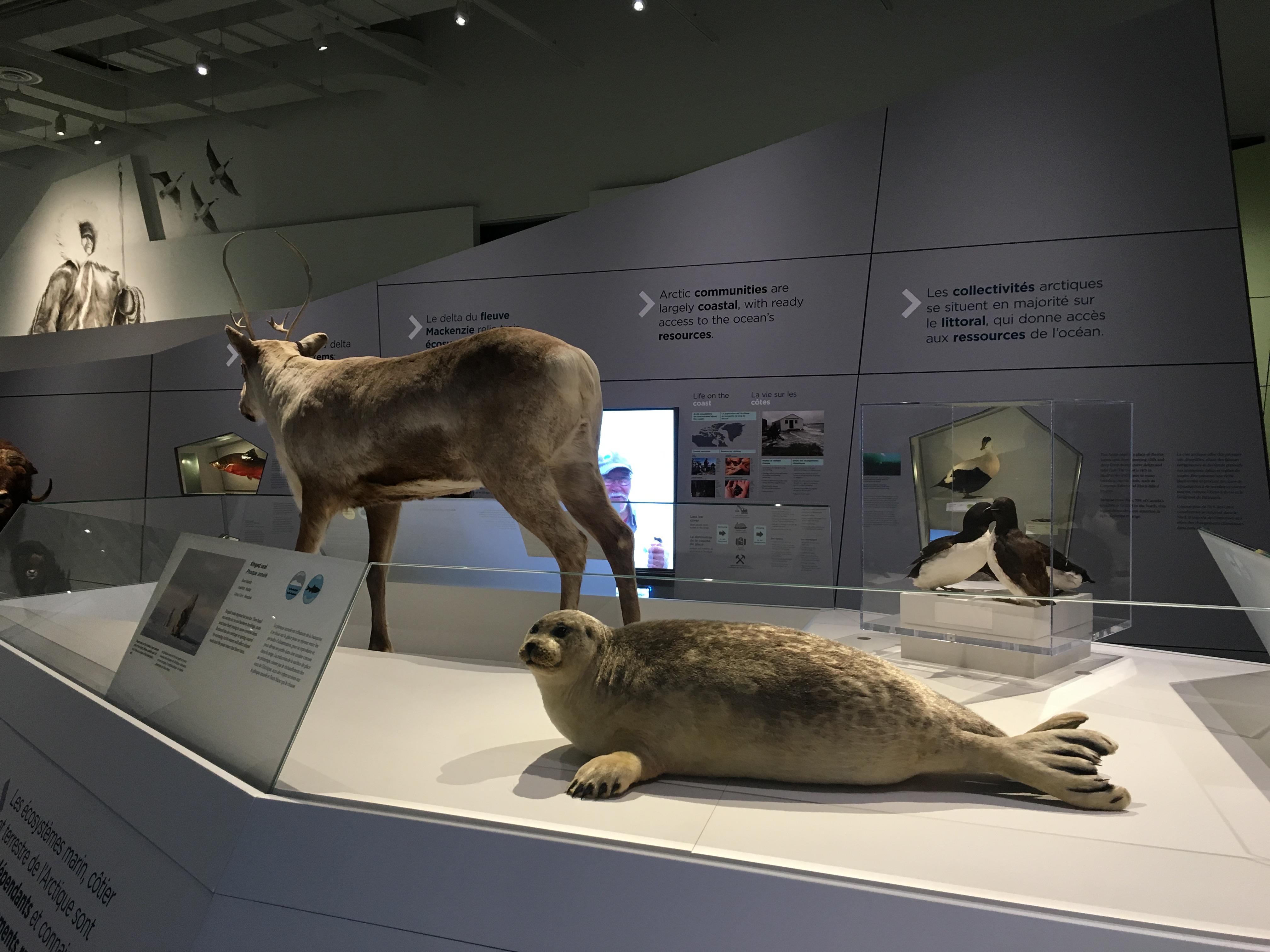 canadian museum of nature canada goose arctic gallery