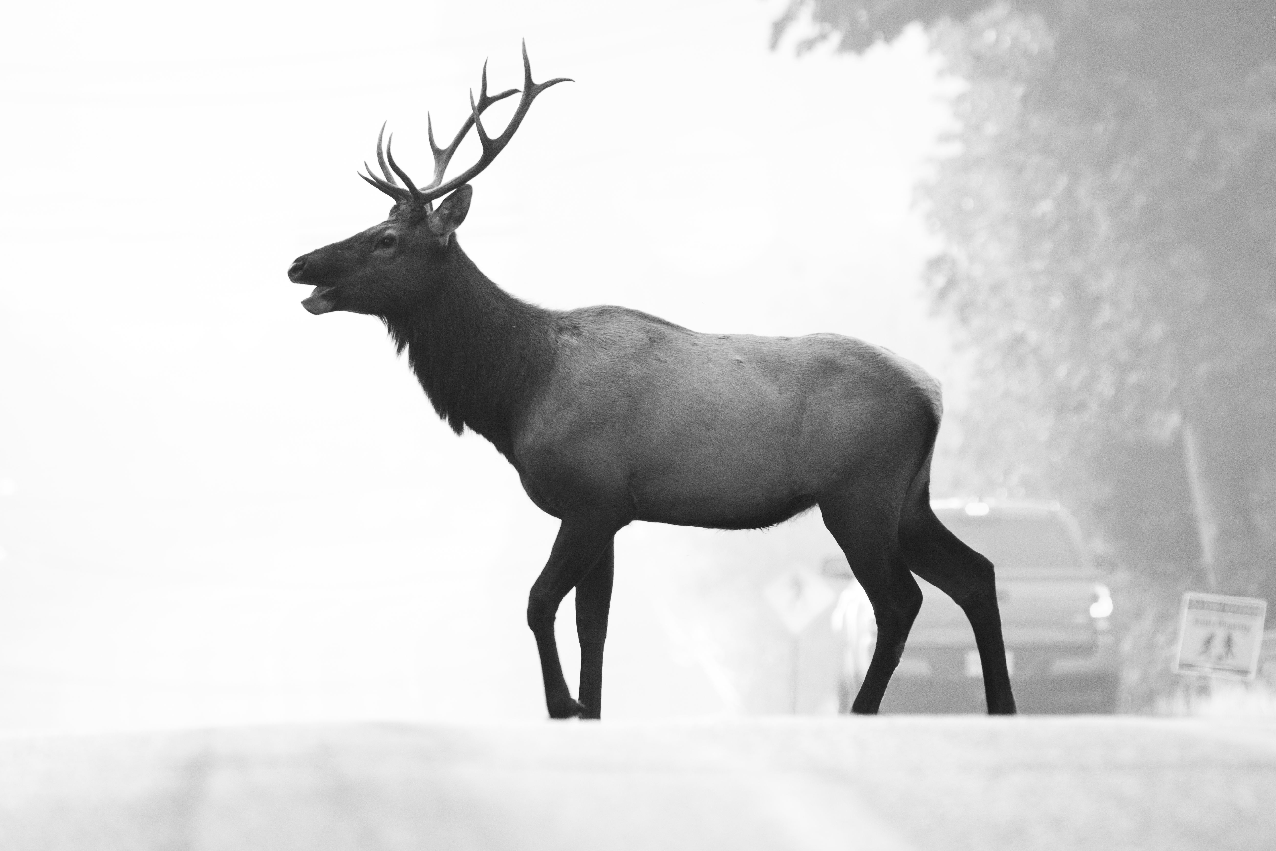 A moose walks across the road, the background is thick with smoke