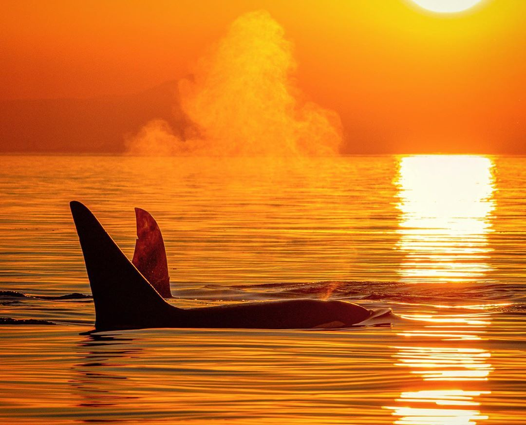 A whale blows water in the ocean against an orange sky