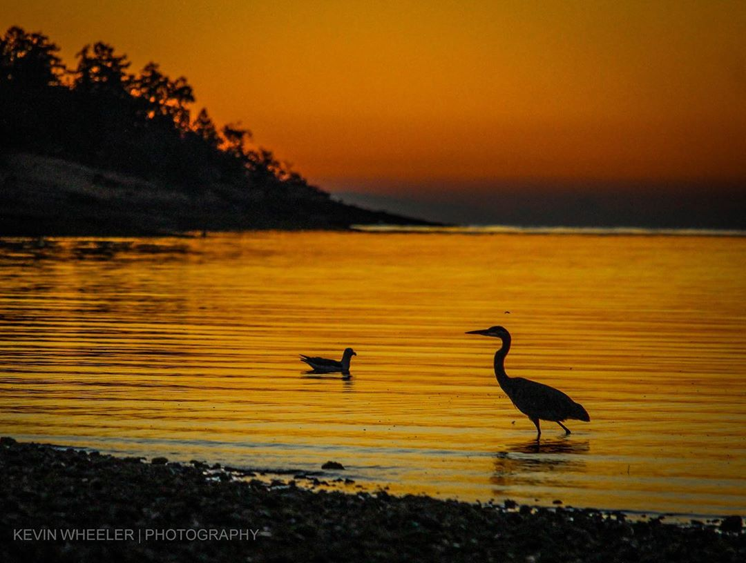 Birds swim in shallow water near the shore against an orange light
