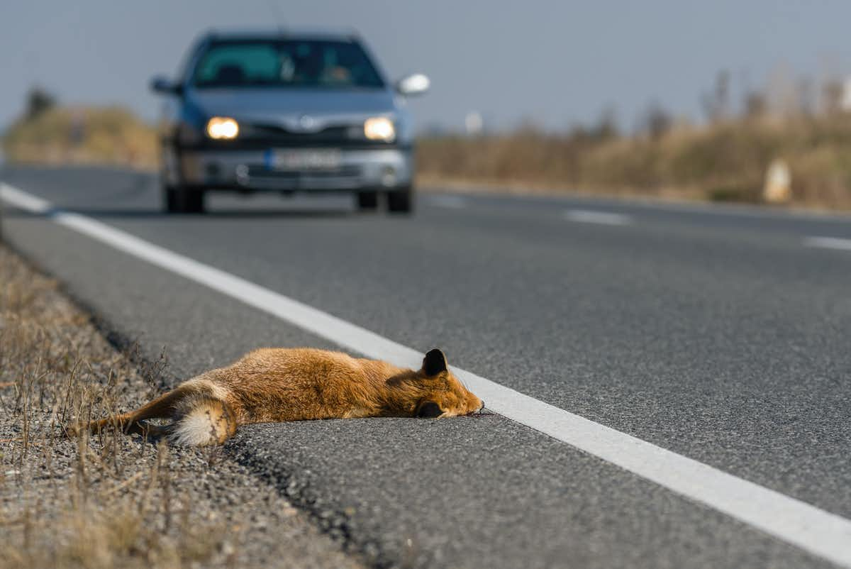 A fox lays on the side of the road with an approaching car in the background