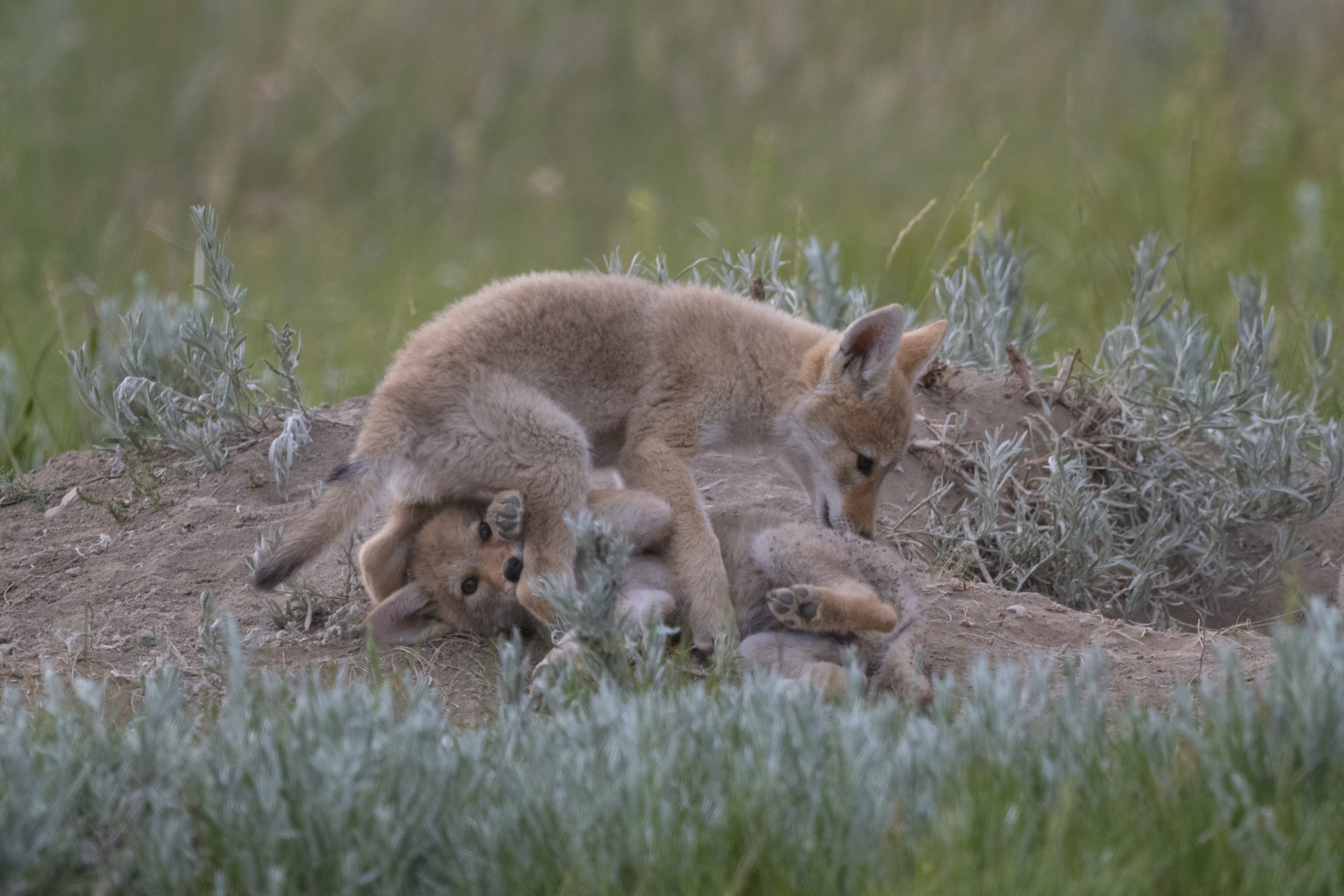 Coyote pups play