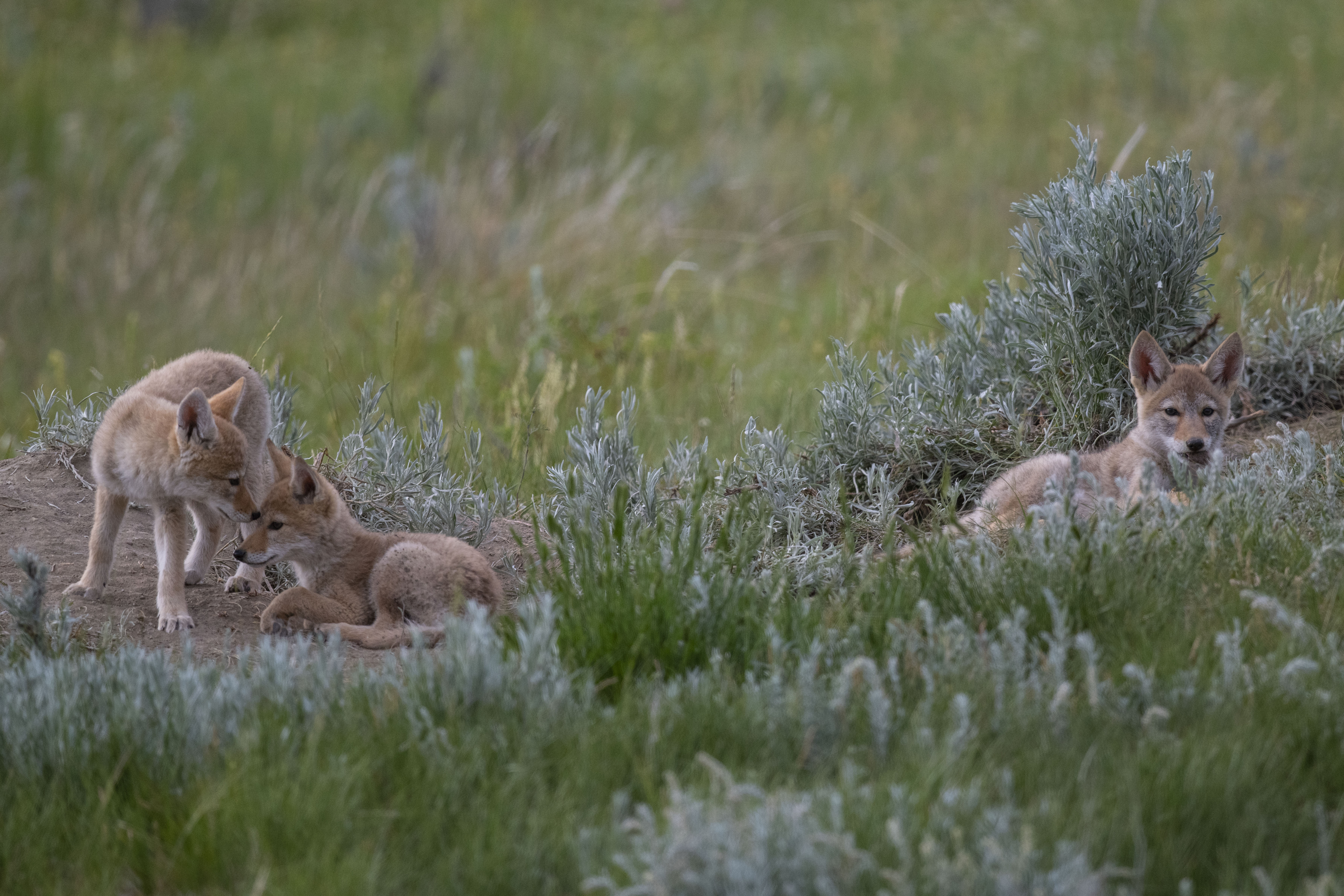 Coyote pups play in the grass