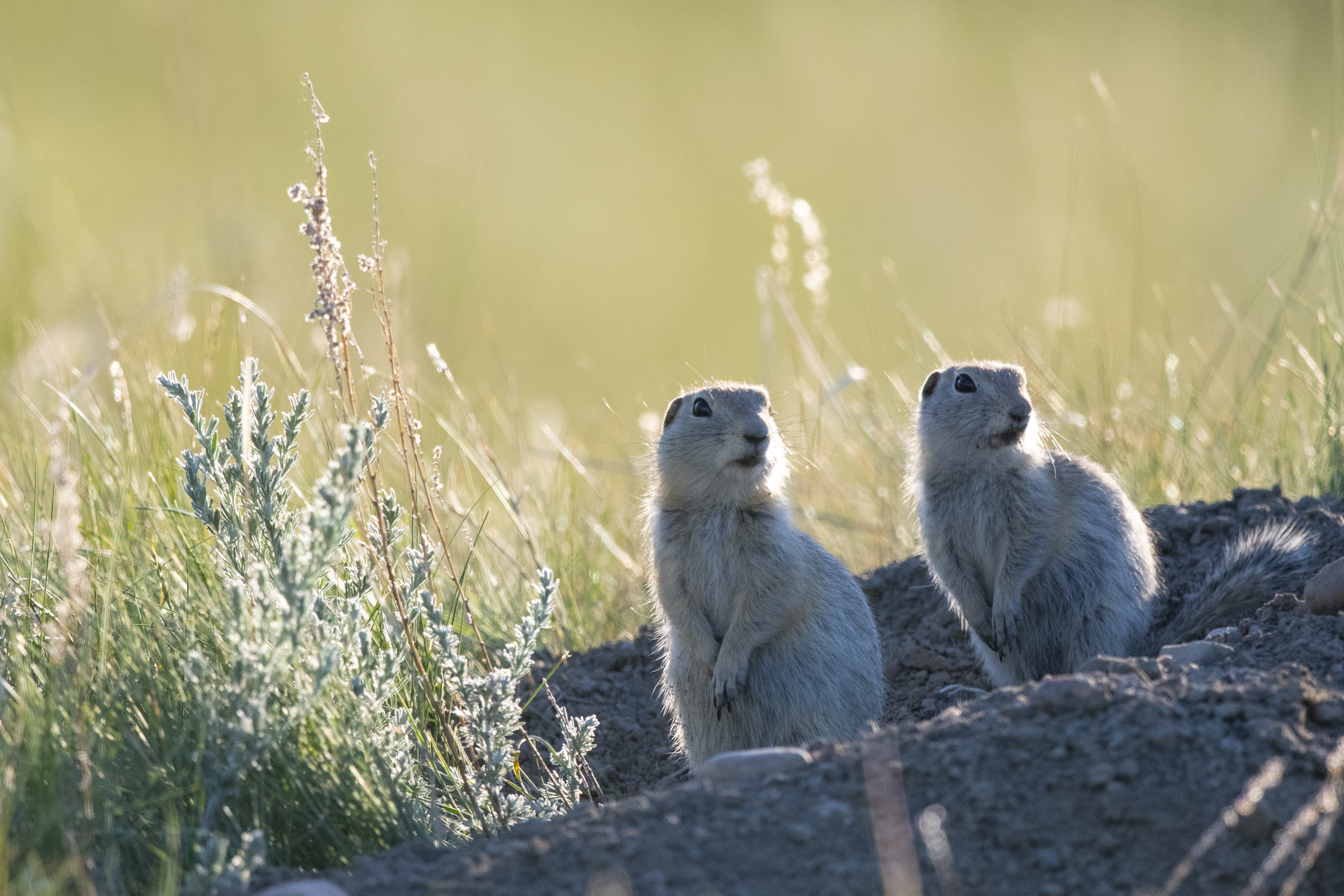 Two ground squirrels stand on a hill of dirt