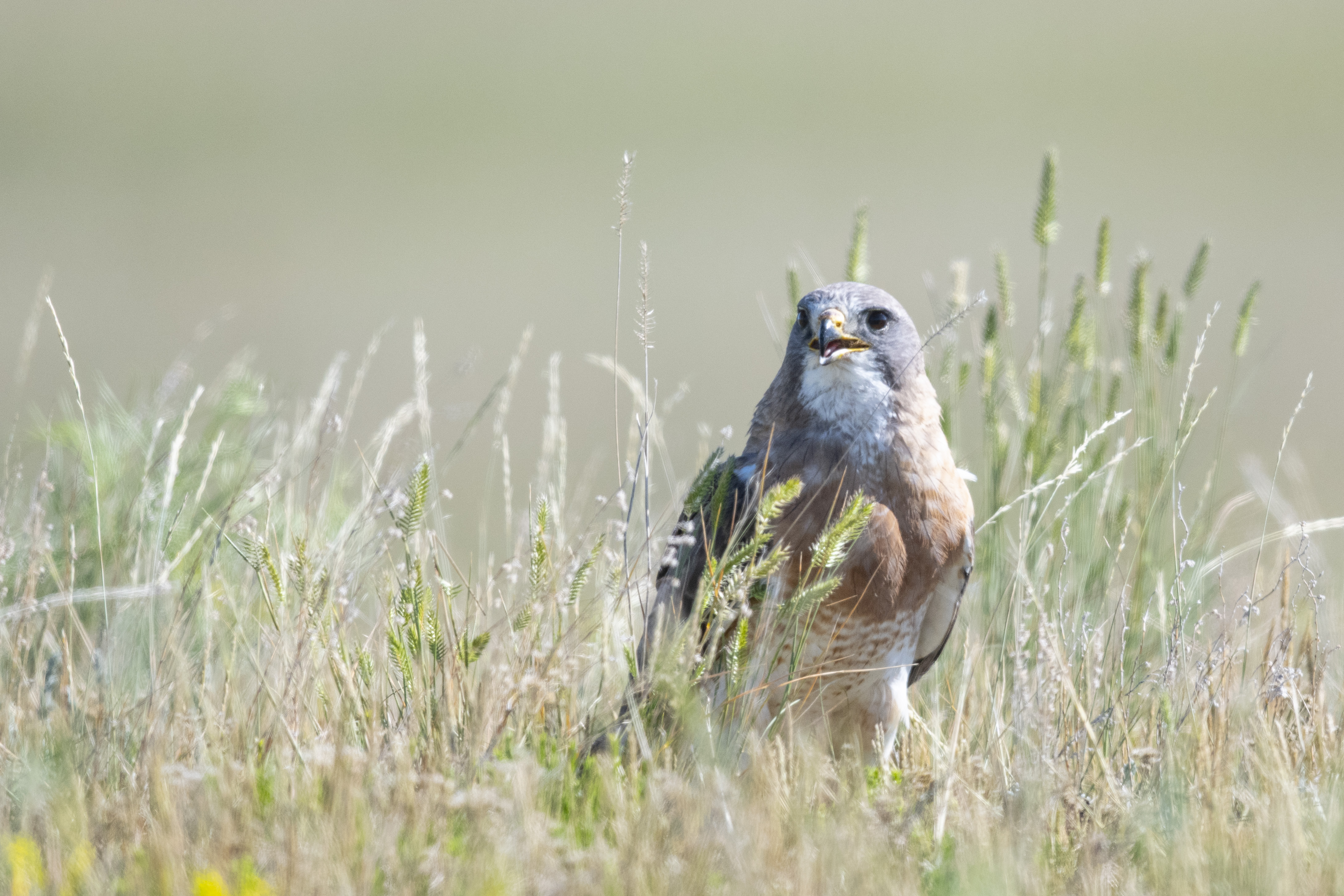 A hawk sits in the grass
