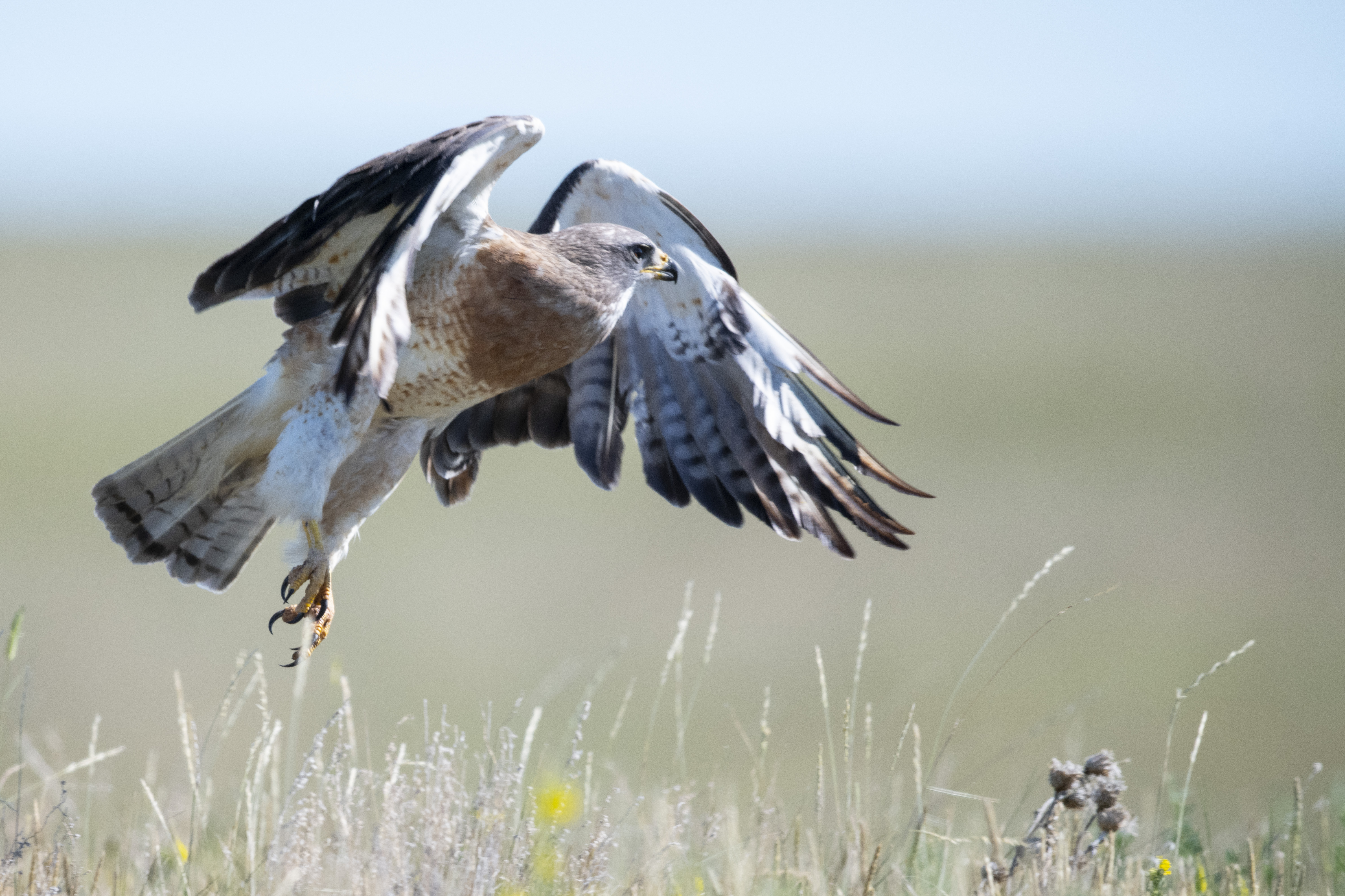 A hawk flies just above the ground