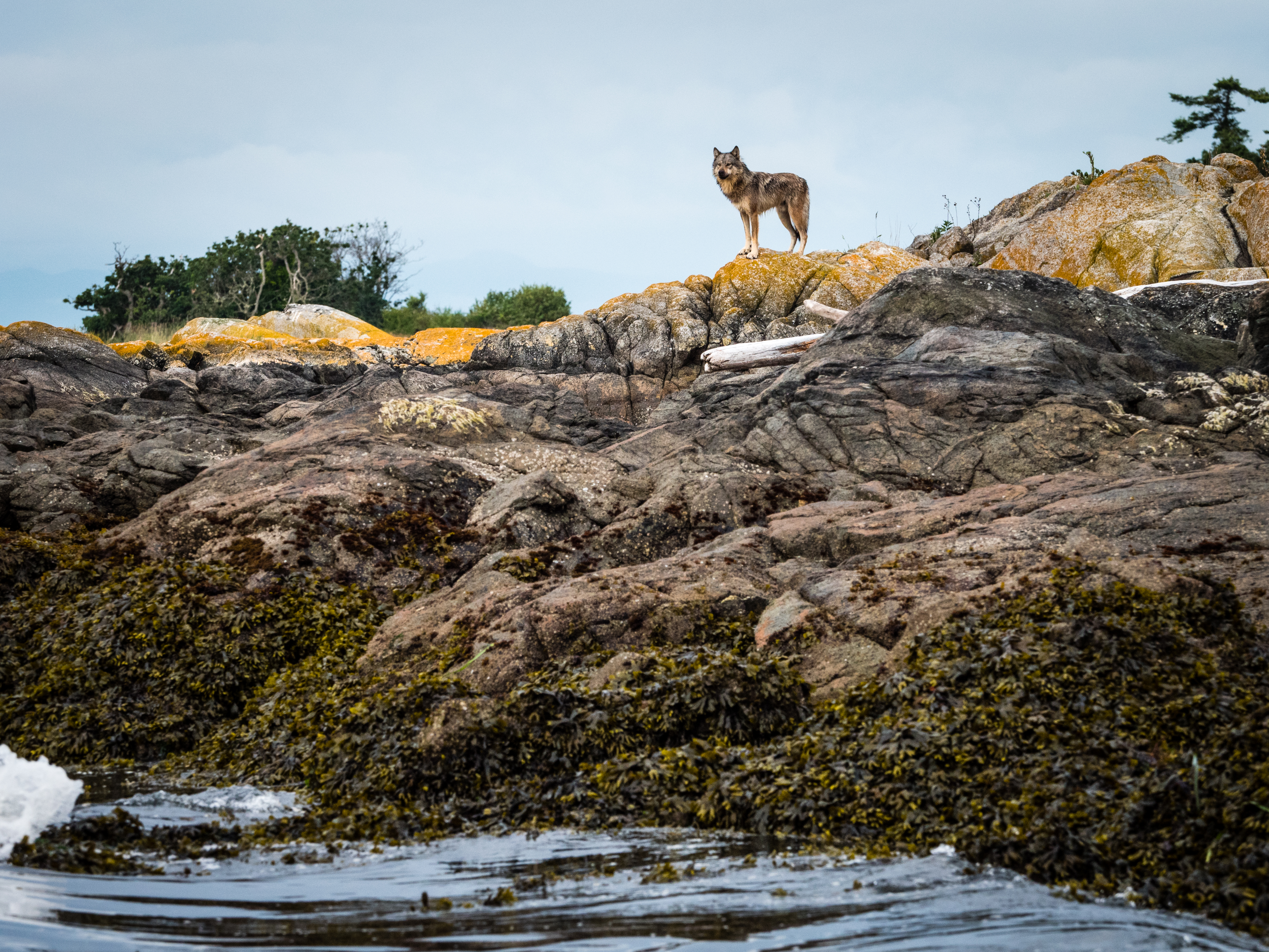 A wolf stands on the rocky shore, overlooking the sea