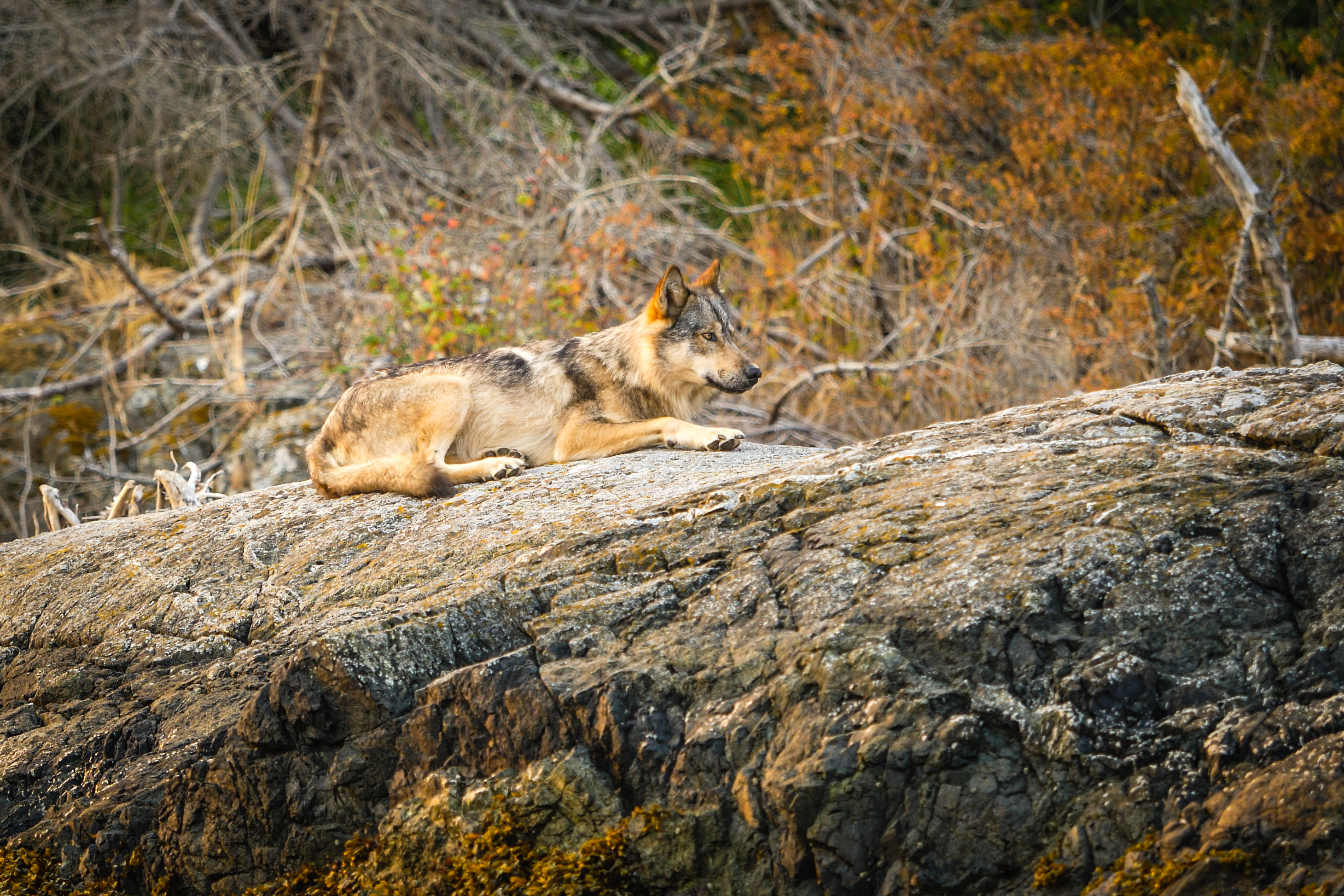 A wolf lays on a rock