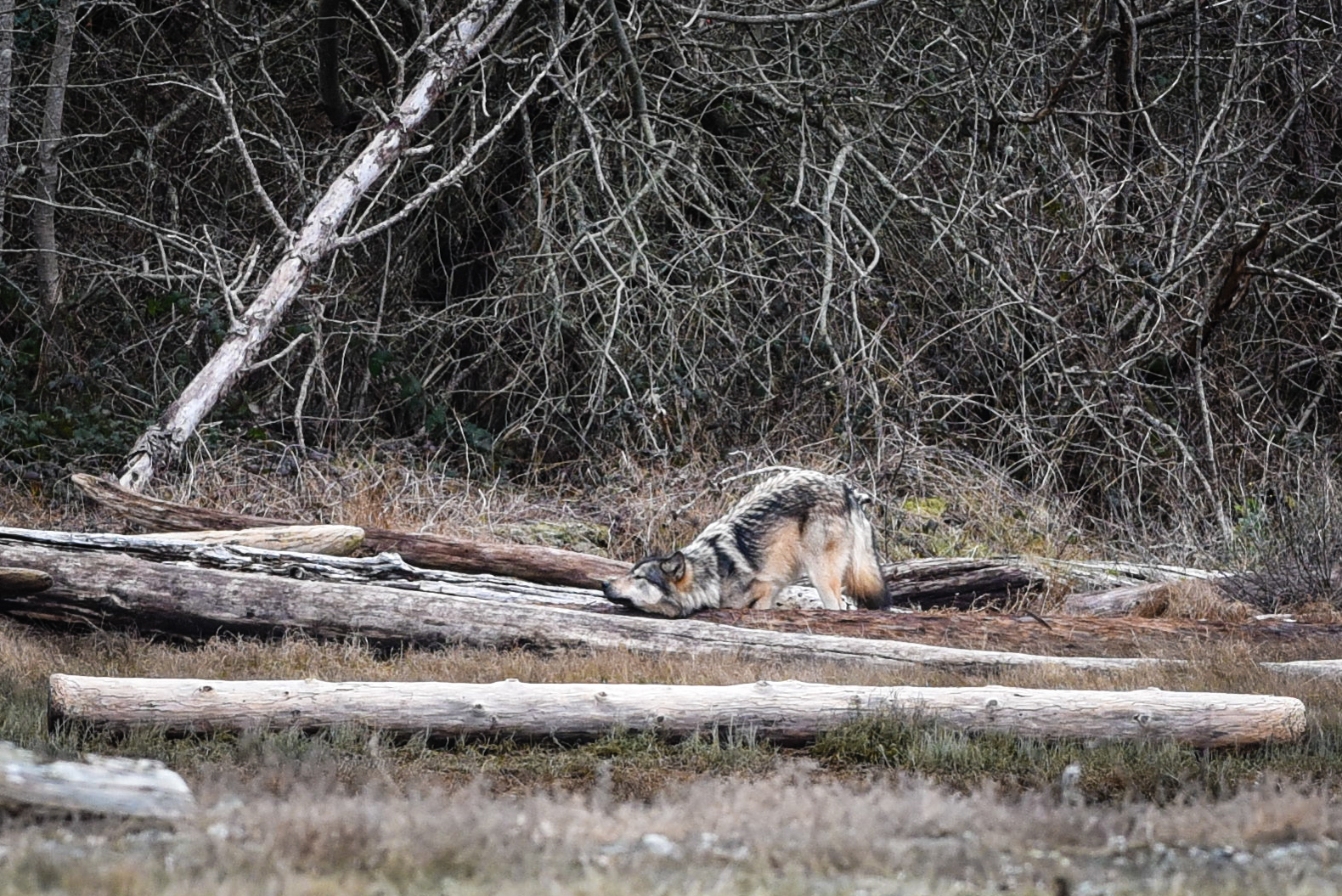 A wolf rubs his neck on a log