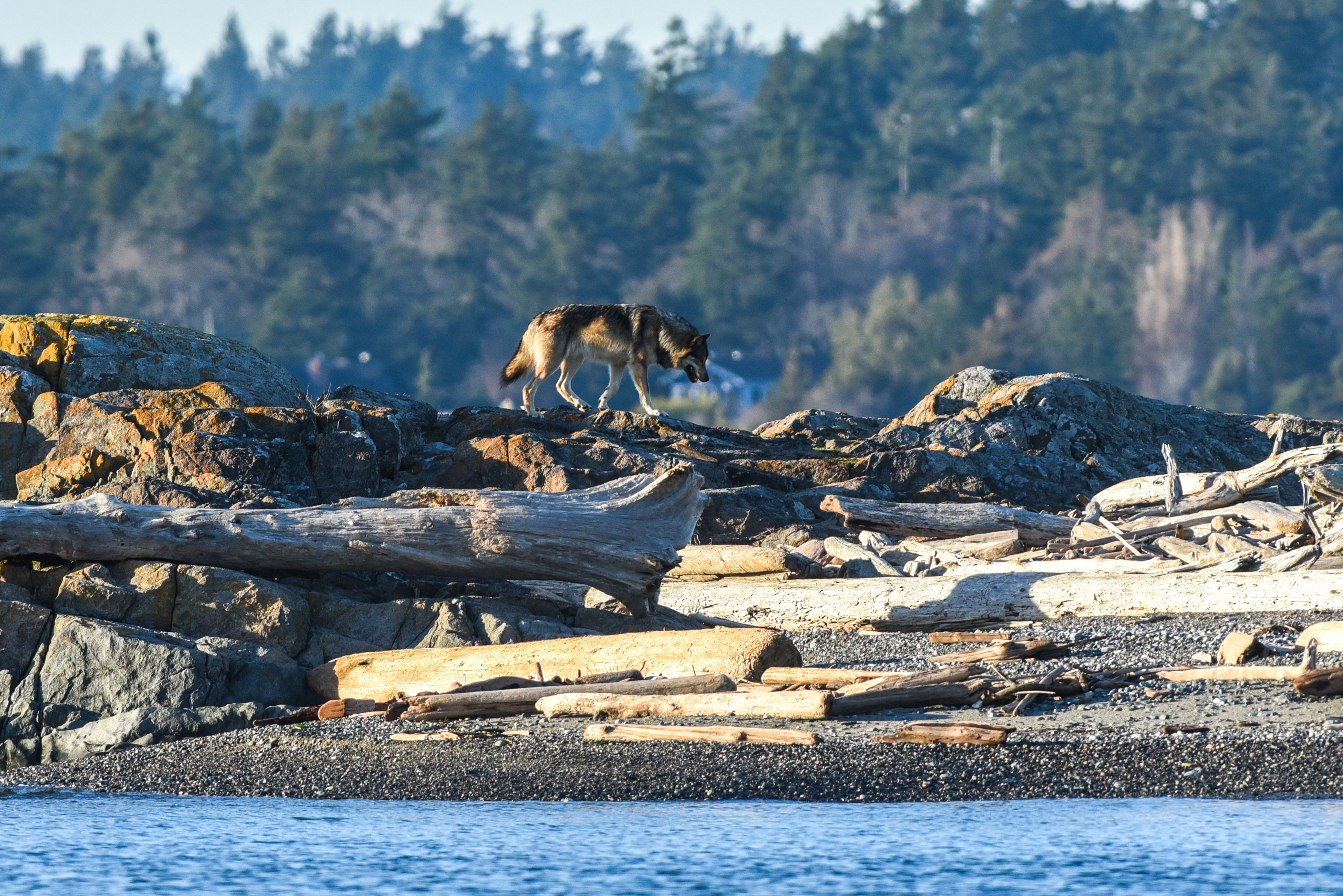 A wolf stands on the rocky shore