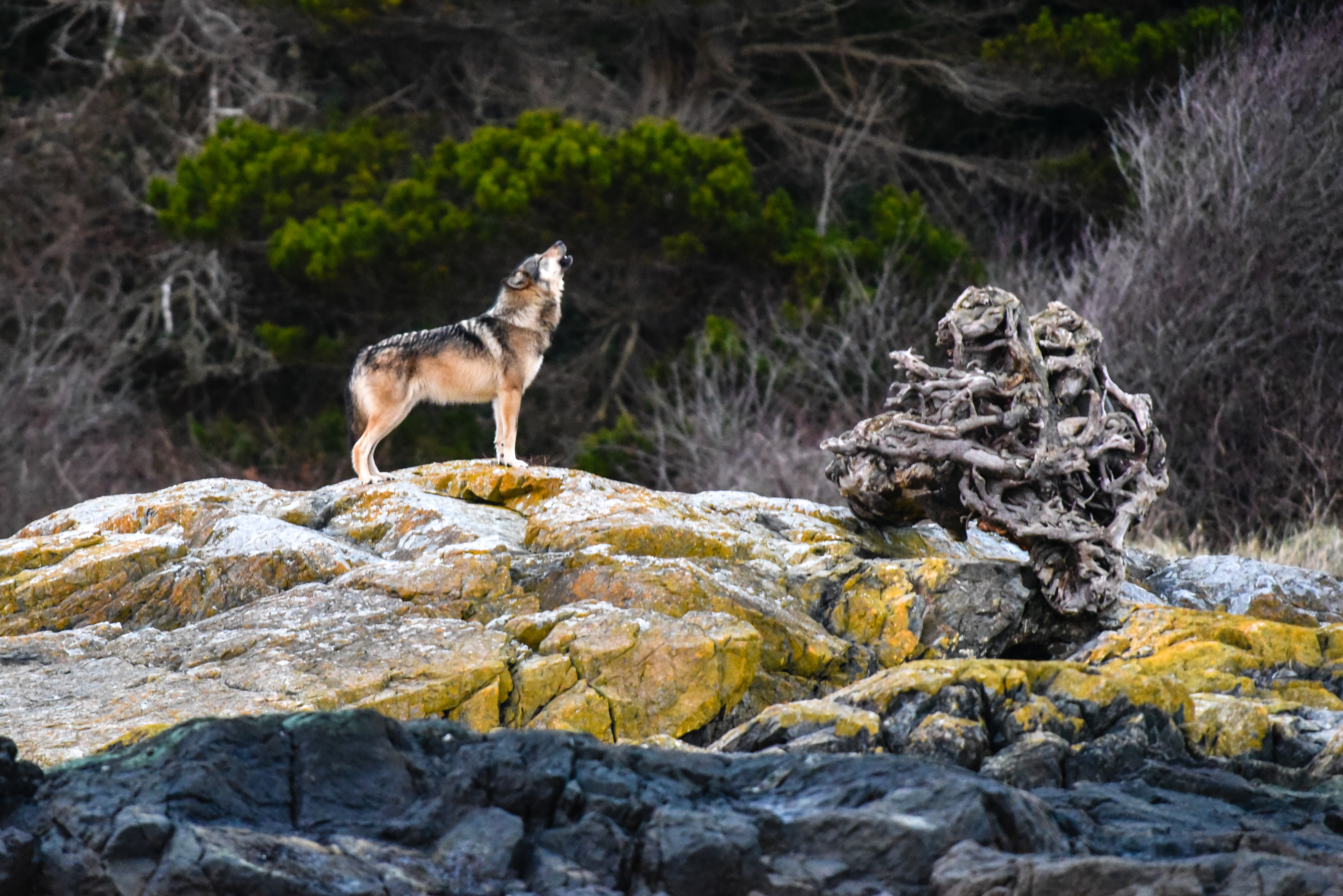 A wolf  howls on a rock, alone