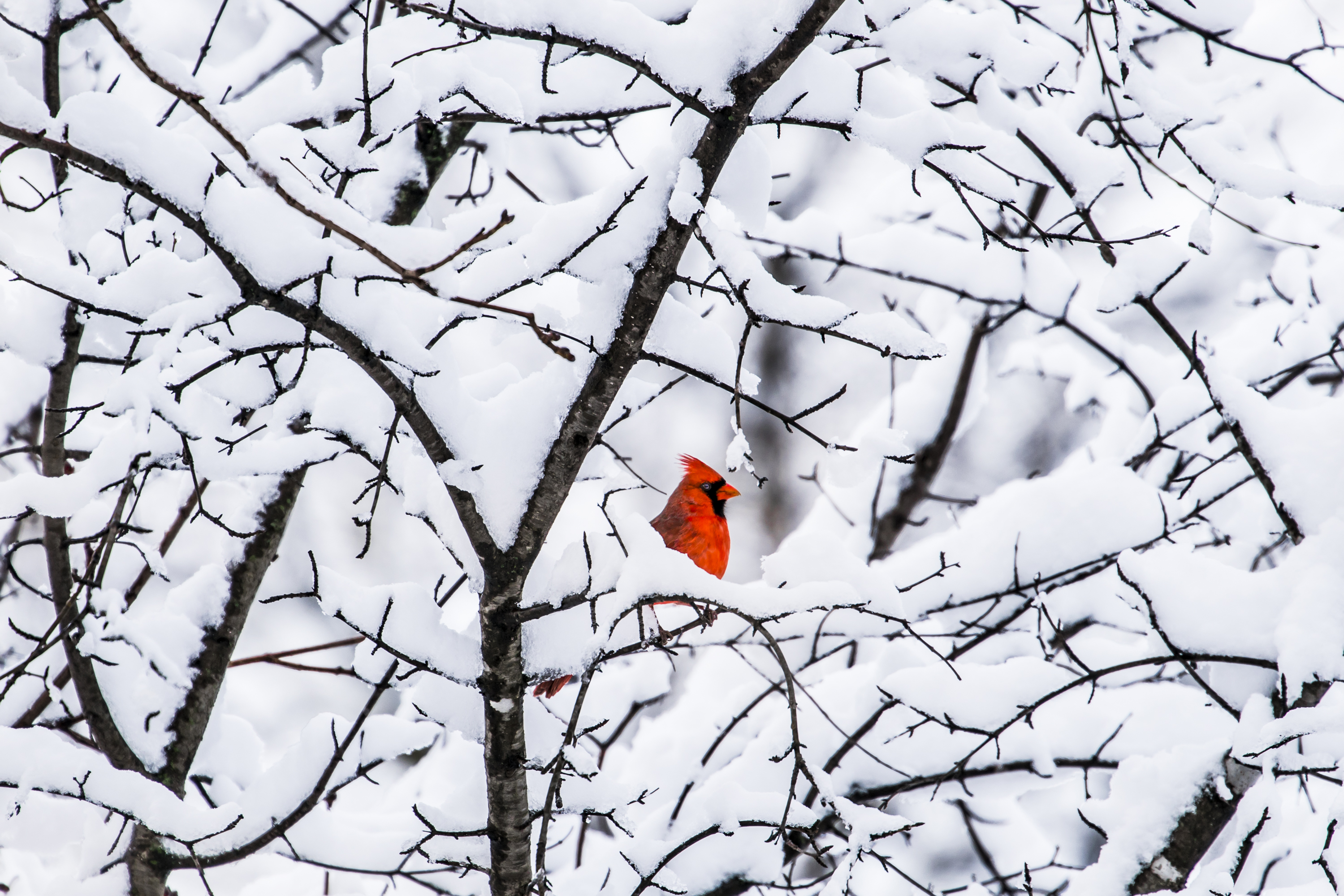 A red bird sits in snow covered branches